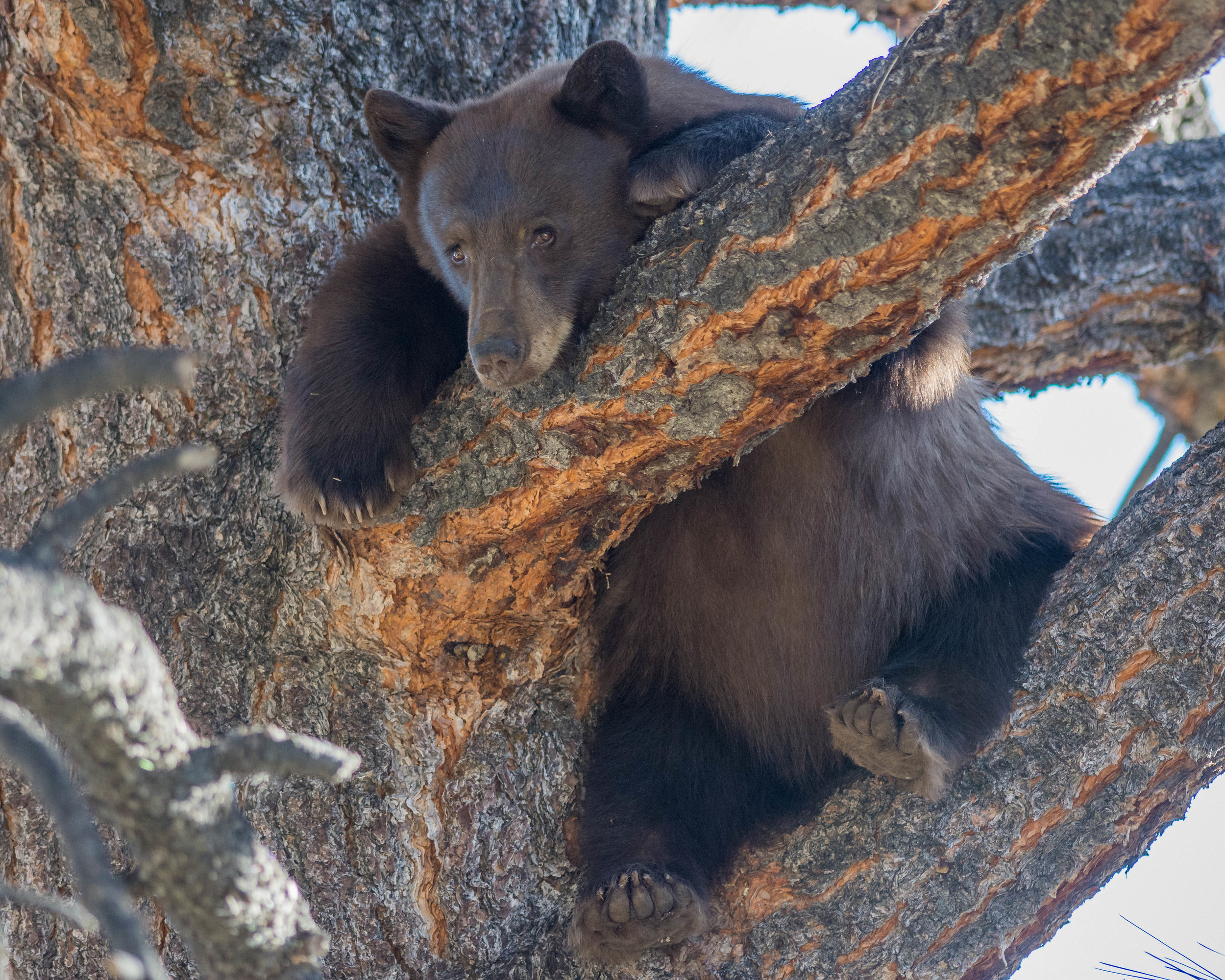 American Black Bear (Ursus americanus) Sep-2018  I think it's a female and she went up the tree when dogs began to bark.