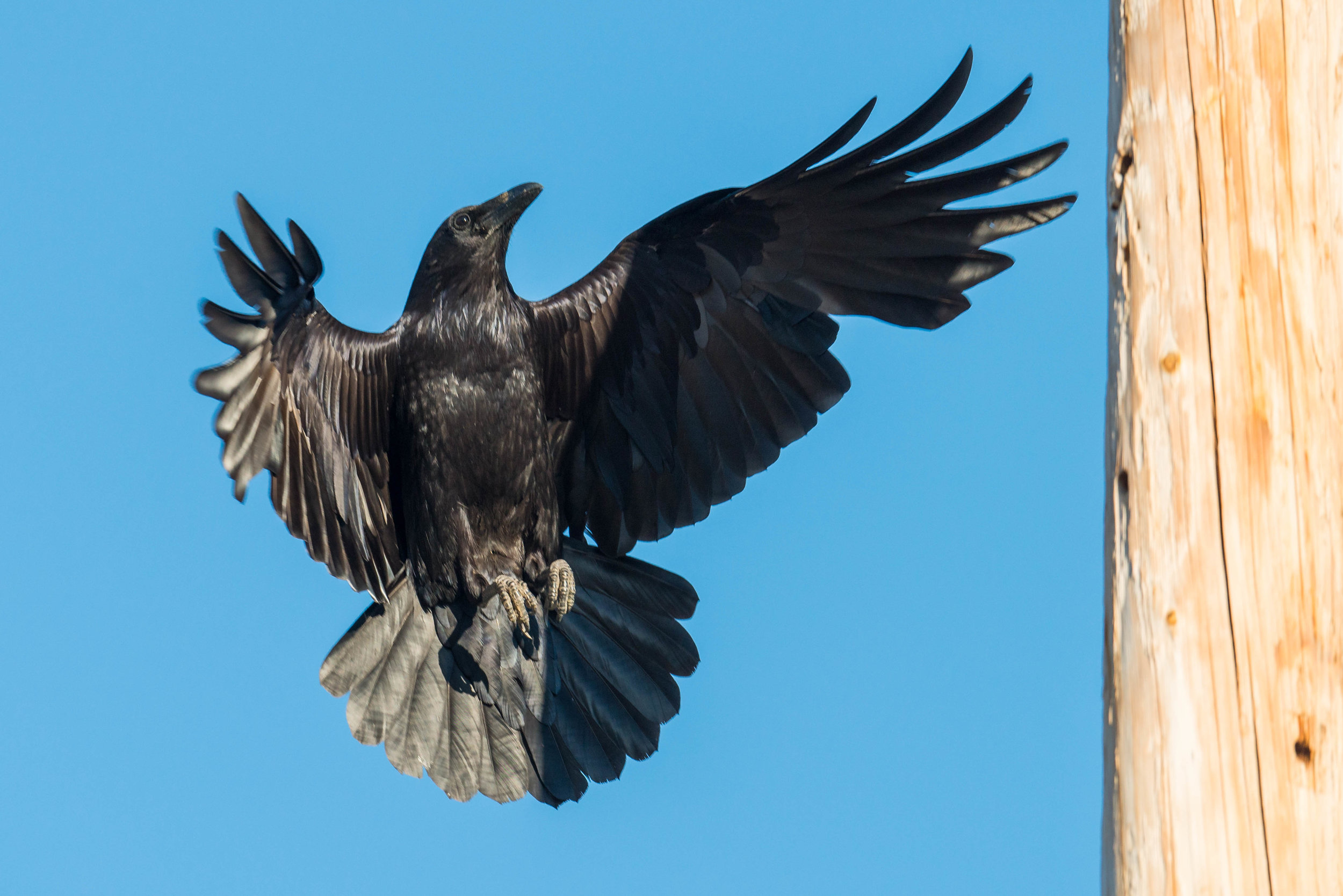 Common Raven (Corvus corax) - Silver Saddle Ranch, CAR (NV) Jun-2018