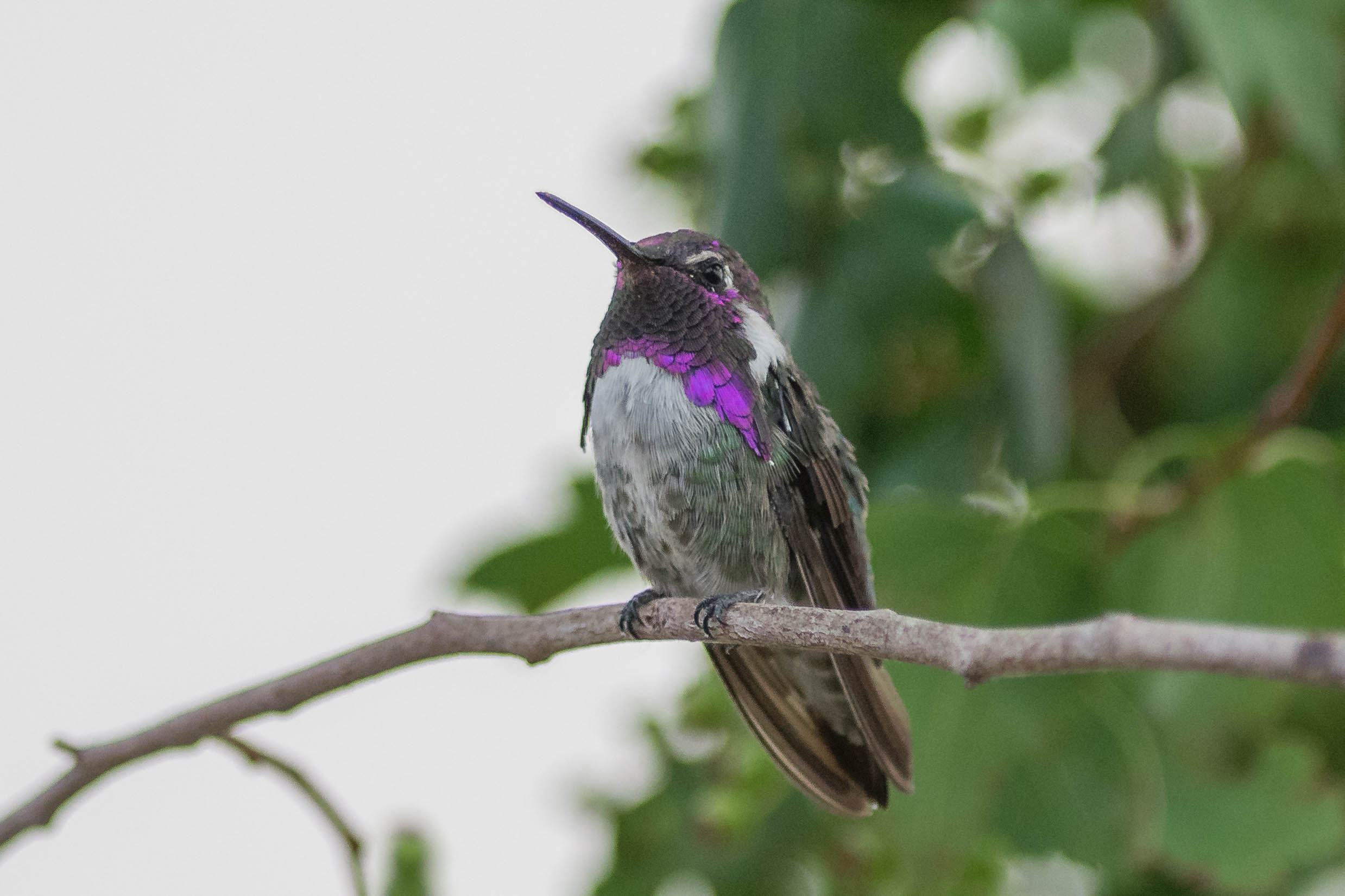 Costa's Hummingbird (Calypte costae) - Yard, WAS (NV) Juy-2018  Last year I had 4 species of hummingbirds coming to my feeders but in 2018 I had 5 with this rare male Costa's.