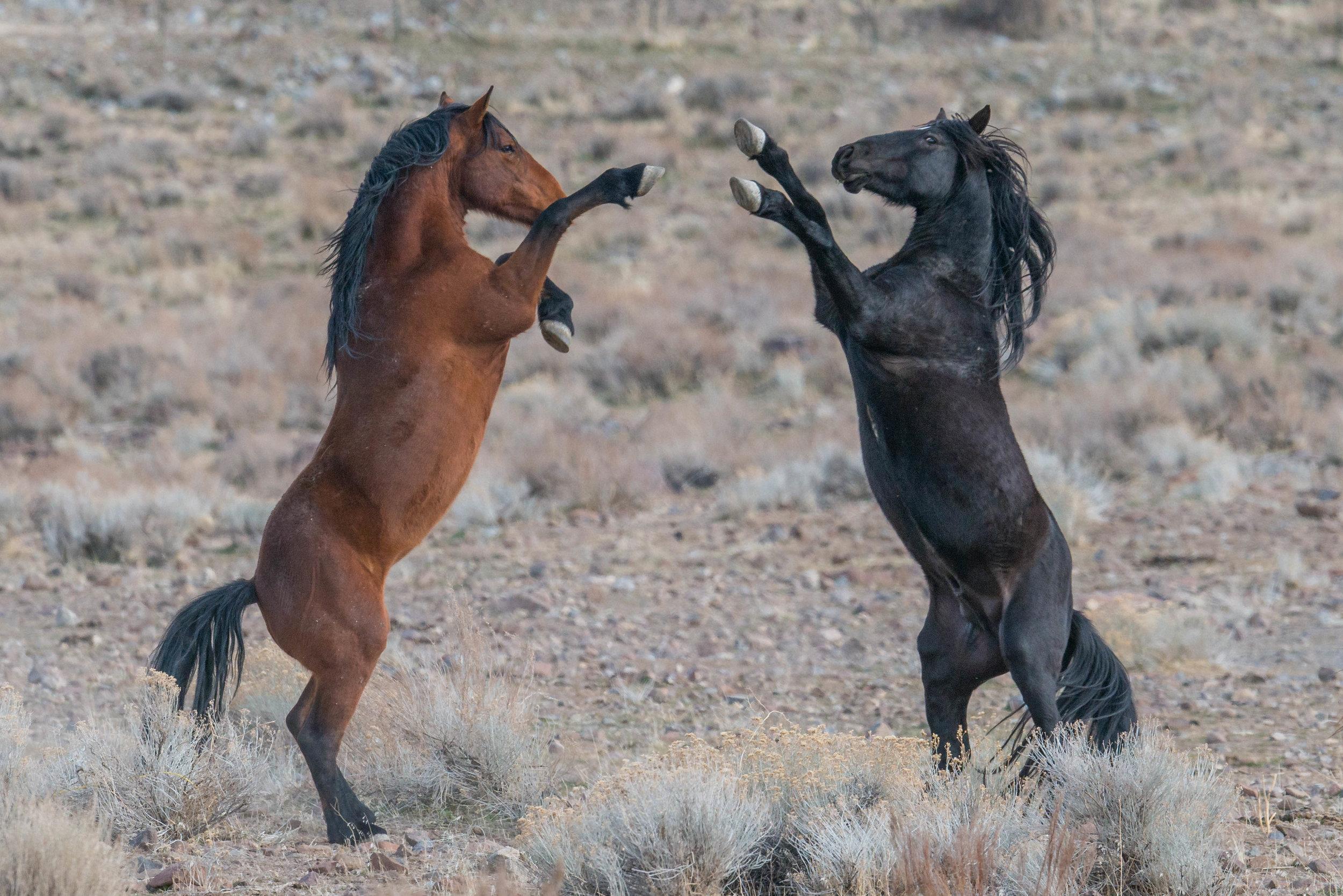 Mustang (Equus ferus) - Hidden Valley, WAS (NV) Jan-2018