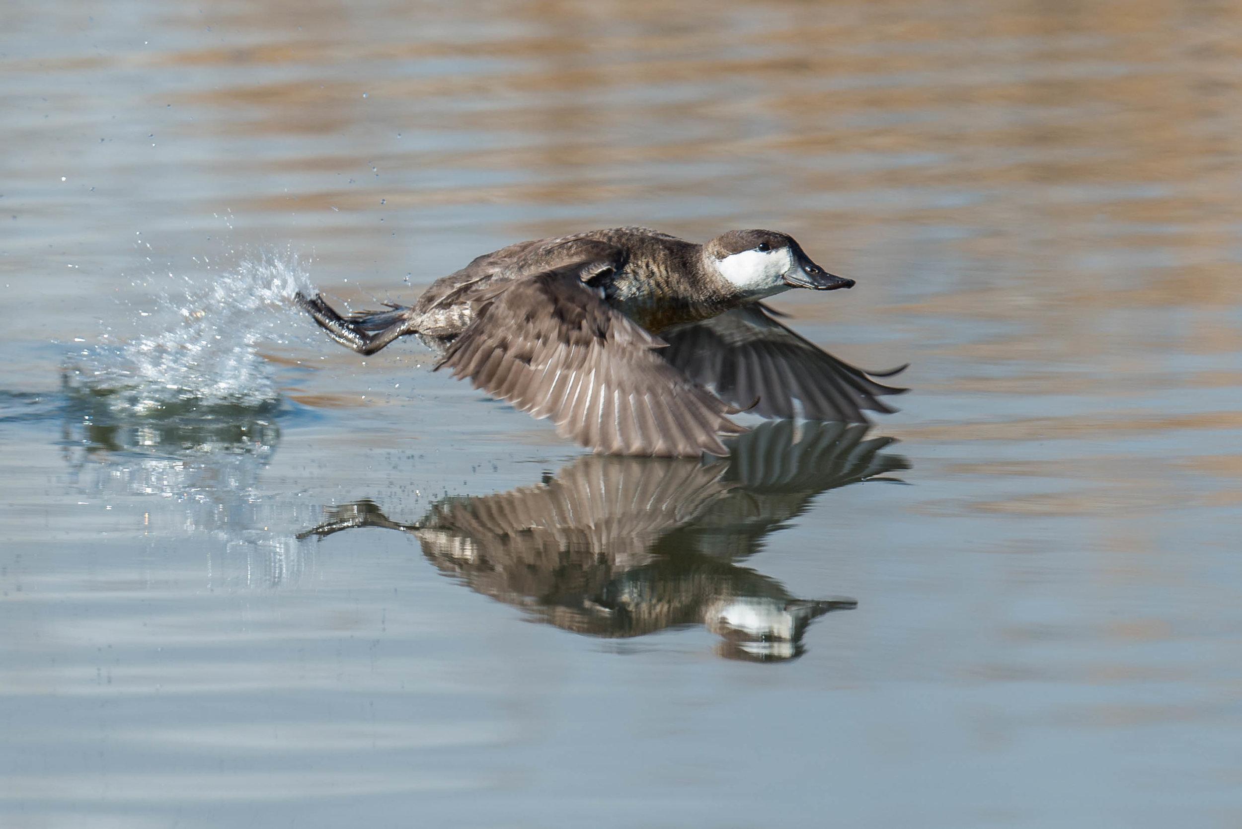 Ruddy Duck (Oxyura jamaicensis) - Boynton Slough, WAS (NV) Jan-2018
