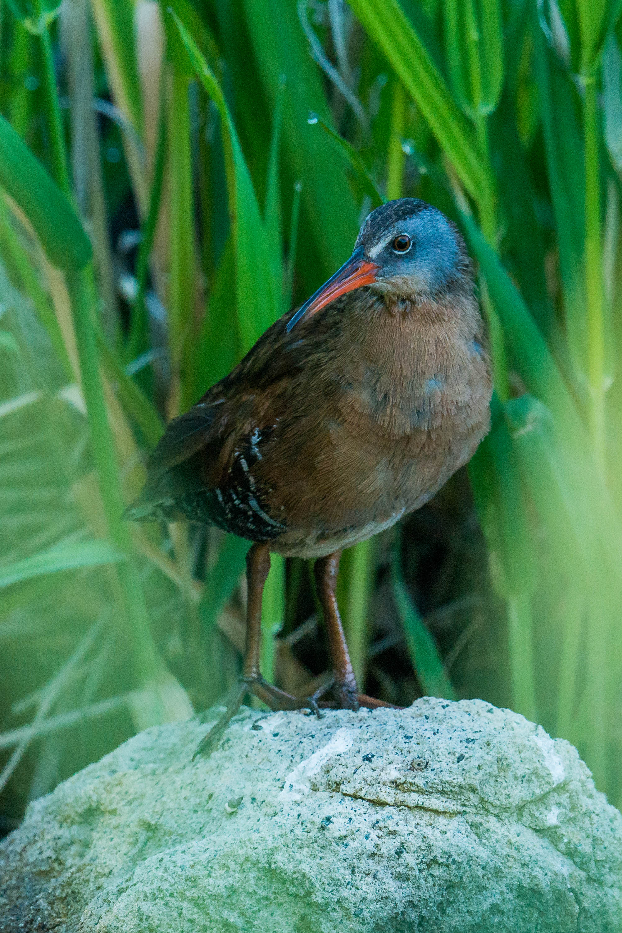 Virginia Rail (Rallus limicola) - Rancho San Rafael, WAS (NV) Jun-2018  A rare sighting of a Rail that gave me only seconds before heading back into the reeds.