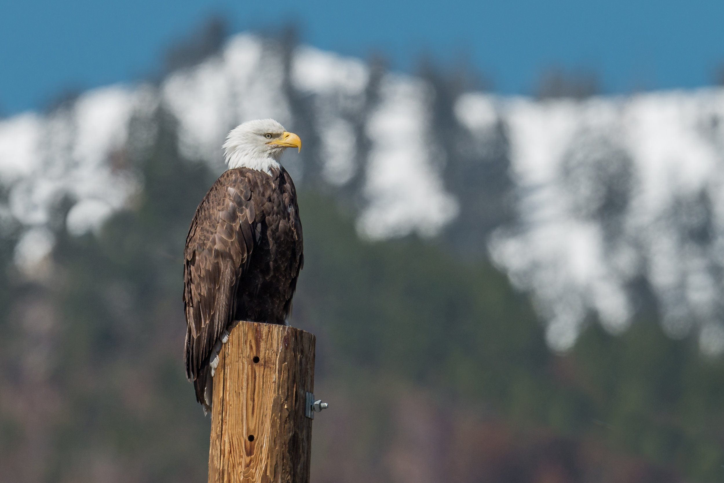 Featured Photo: Bald Eagle (Haliaeetus leucocephalus), Washoe Valley, WAS (NV)  EQ: D800, 500mm f/4 Taken: 4-20-2018 at 10:46  Settings: 500mm, 1/1250s, f/6.3, ISO250, 1/3EV Conditions: sunny