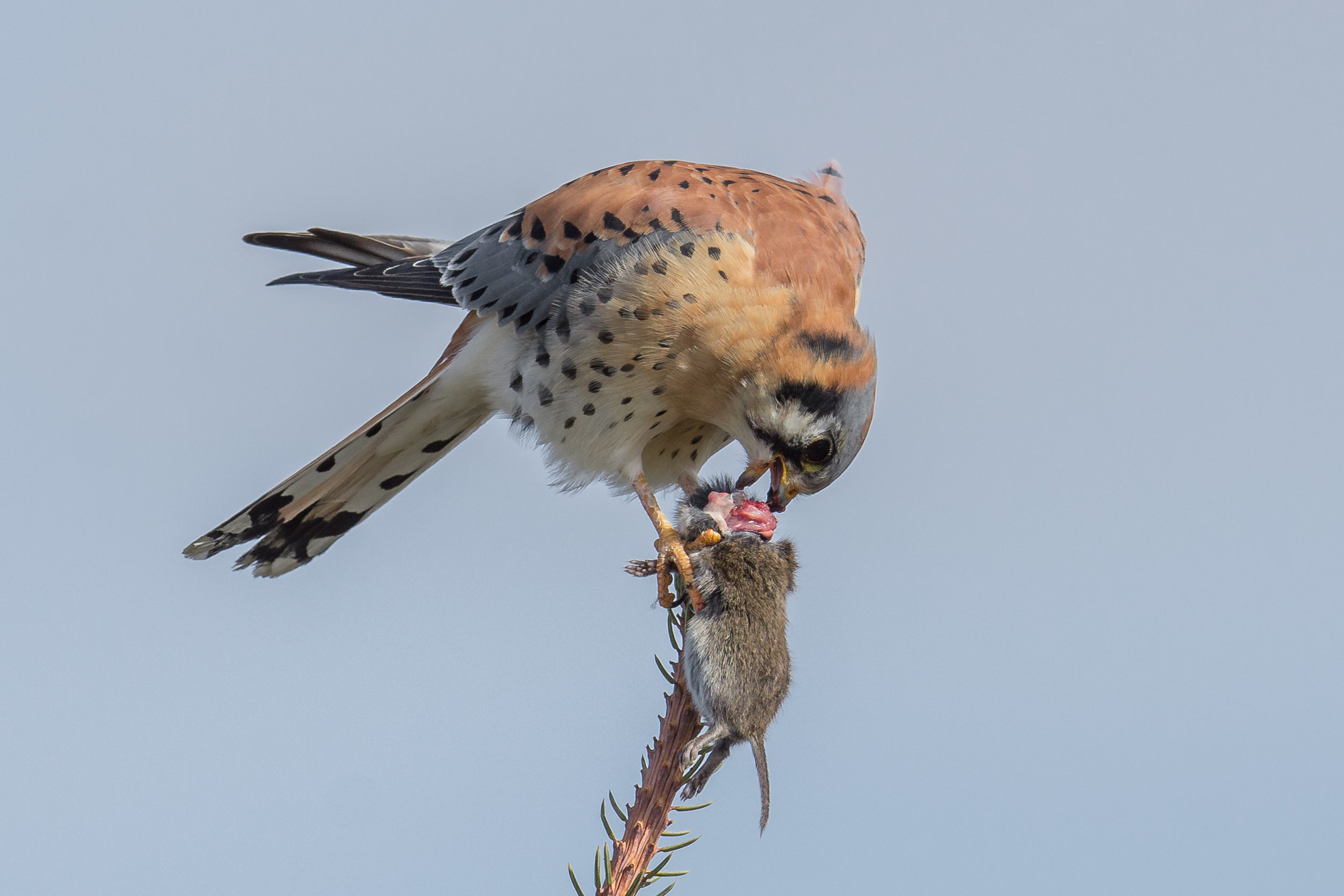 American Kestrel (Falco sparverius), Diamond Creek Pond, WAS (NV), 11-29-2016  This encounter was at the end of my walk around the Diamond Creek Pond. I had put my camera away when I saw this Kestrel in the top of a conifer. I pulled out my camera and was able to capture this moment. Why do some ranchers and farmers think raptors are pests (D7200 with 500mm f/4 lens, 750mm focal length, 1/1250s, f/5.6, ISO180, +.3EV)?