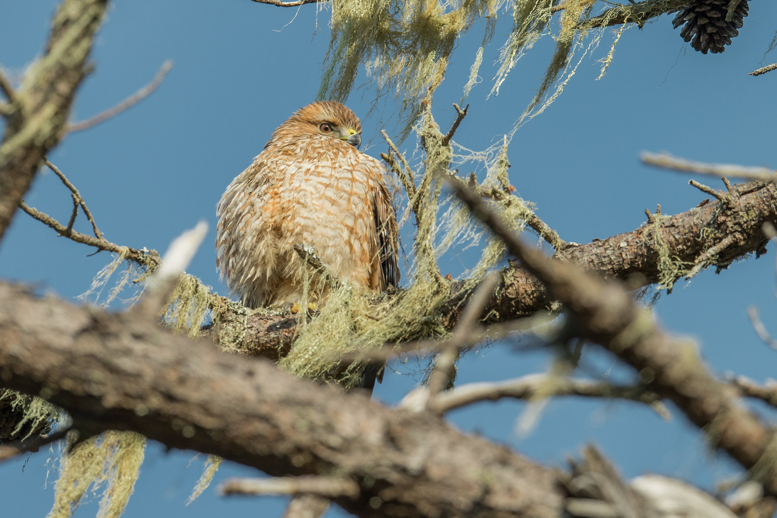 Red-shouldered Hawk (Buteo lineatus), Swanton Rd at Last Chance, SCZ (CA), 12-07-2018  The Red-shoulder Hawk is fairly common in Santa Cruz County (CA) but in NW Nevada they are hard to find. I was able to grab this photo even through the branches by using single point focus (D800 with 500mm f/4 lens, 500mm focal length, 1/1250s, f/5.6, ISO320, +.3EV).