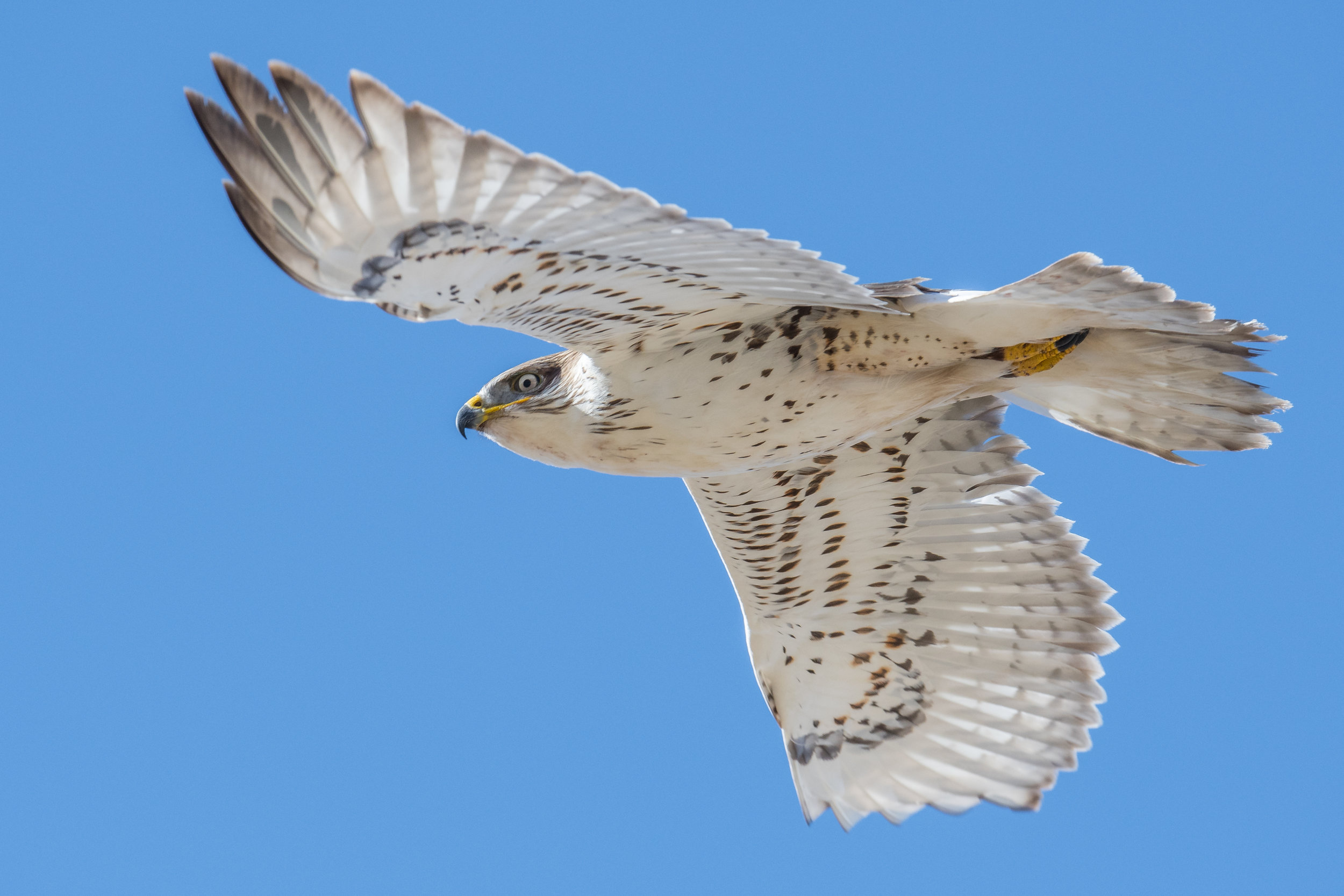 Ferruginous Hawk (Buteo regalis), Washoe Lake SP, WAS (NV), 01-09-2019  I found a pair of Ferruginous Hawk on the east side of Washoe Lake on the top of power line poles. I was able to capture this one as it took flight (D500 with 500mm f/4 lens, 750mm focal length, 1/1600s, f/5.6, ISO320, +.3EV).