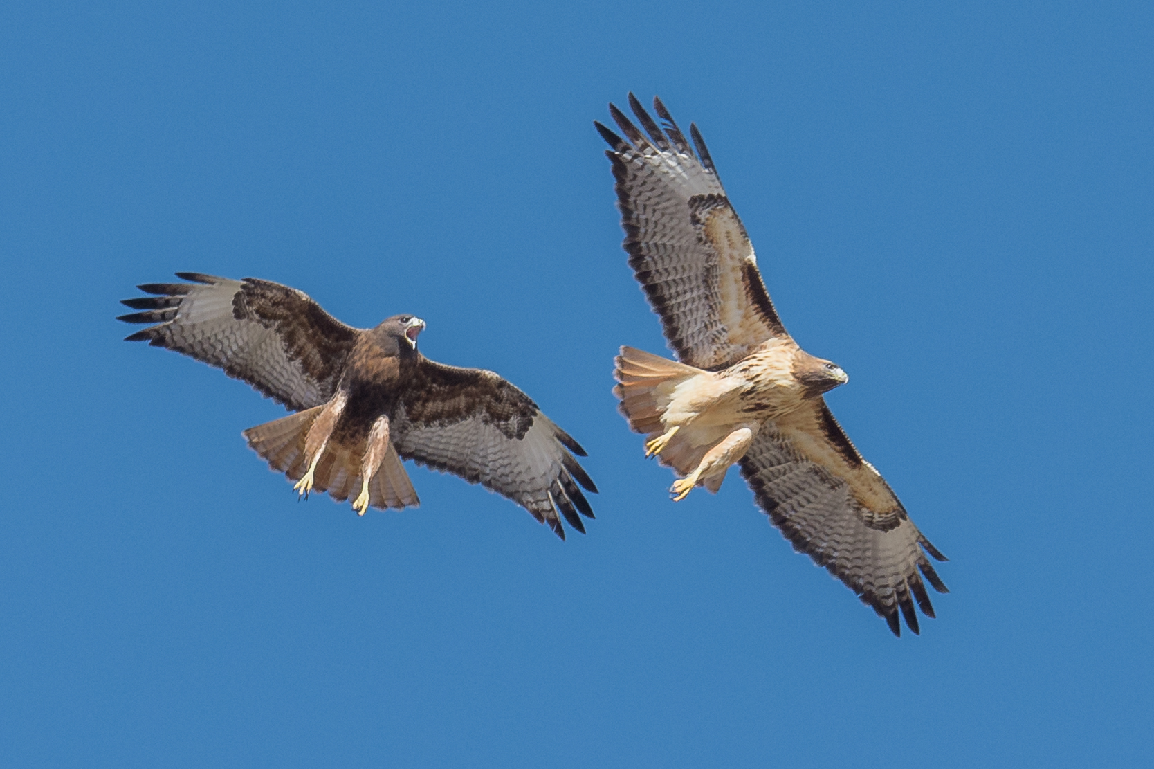 Red-tailed Hawk (Buteo jamaicensis), Rancho San Rafael, WAS (NV), 1-26-2016  This pair of Red-tailed Hawk were in the middle of their mating display. It's not often you can find them displaying close enough to get a decent photo (D7200 with 500mm f/4 lens, 750mm focal length, 1/1250s, f/5, ISO250, +.3EV).