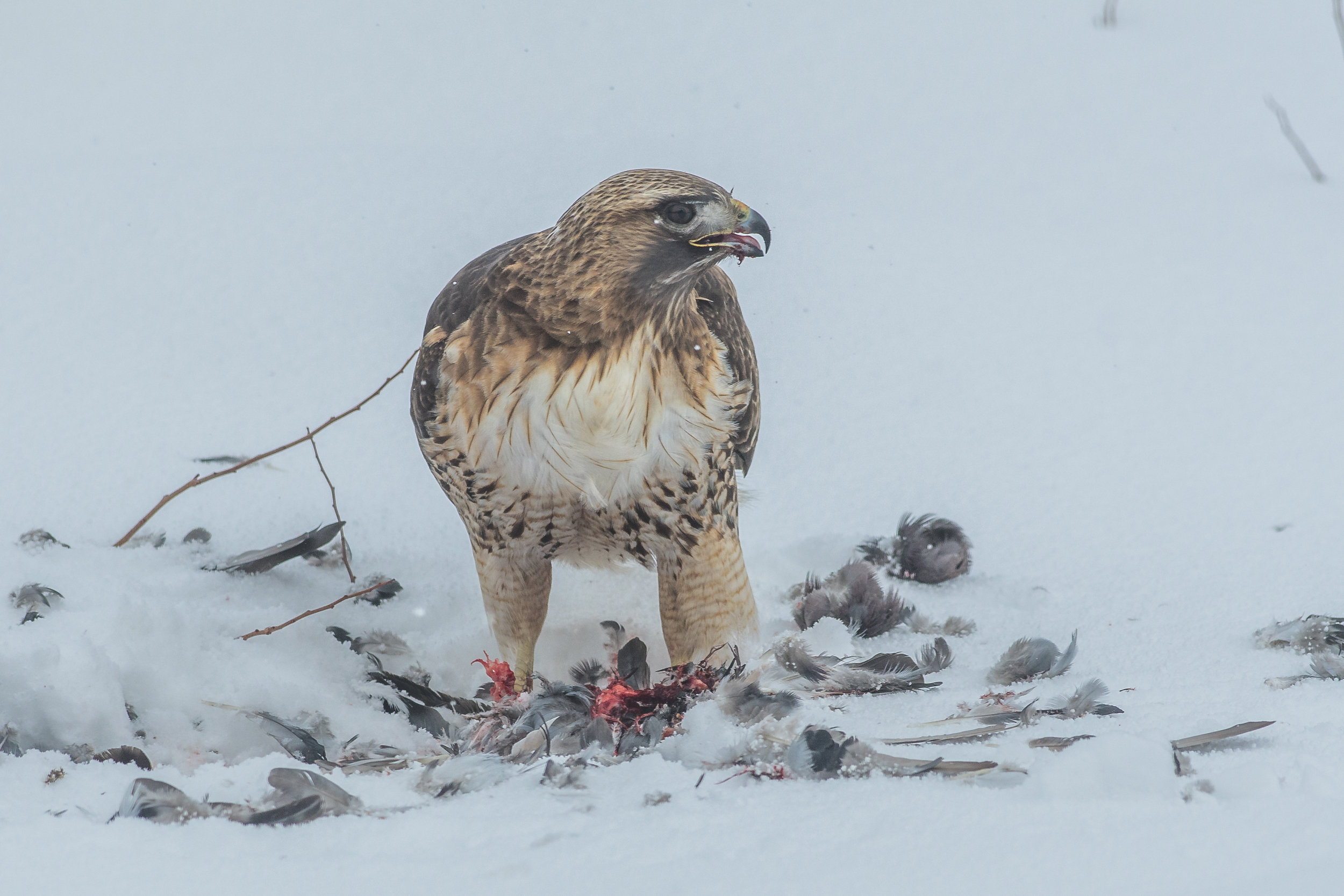 Featured Photo: Red-tailed Hawk (Buteo jamaicensis), WAS (NV)  EQ: D500, 300mm f/2.8 Taken: 2-21-2019 at 12:47  Settings: 450mm (35mm eqv), 1/2000s, f/5.6, ISO180, 1/3EV Conditions: overcast