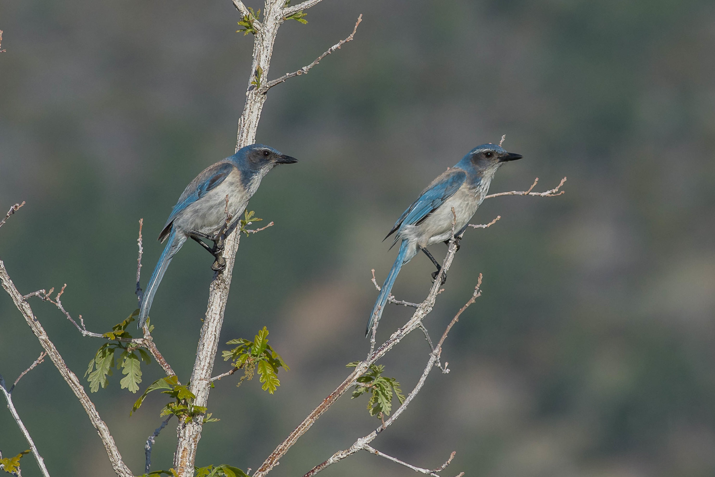 California Scrub-Jay (Aphelocoma californica) in Burr Oak  EQ: D7200, 300mm f/2.8 Taken: 7-27-2018 at 7:02  Settings: 450mm (35mm eqv), 1/1250s, f/5.6, ISO250, 1/3EV Conditions: clear sunrise