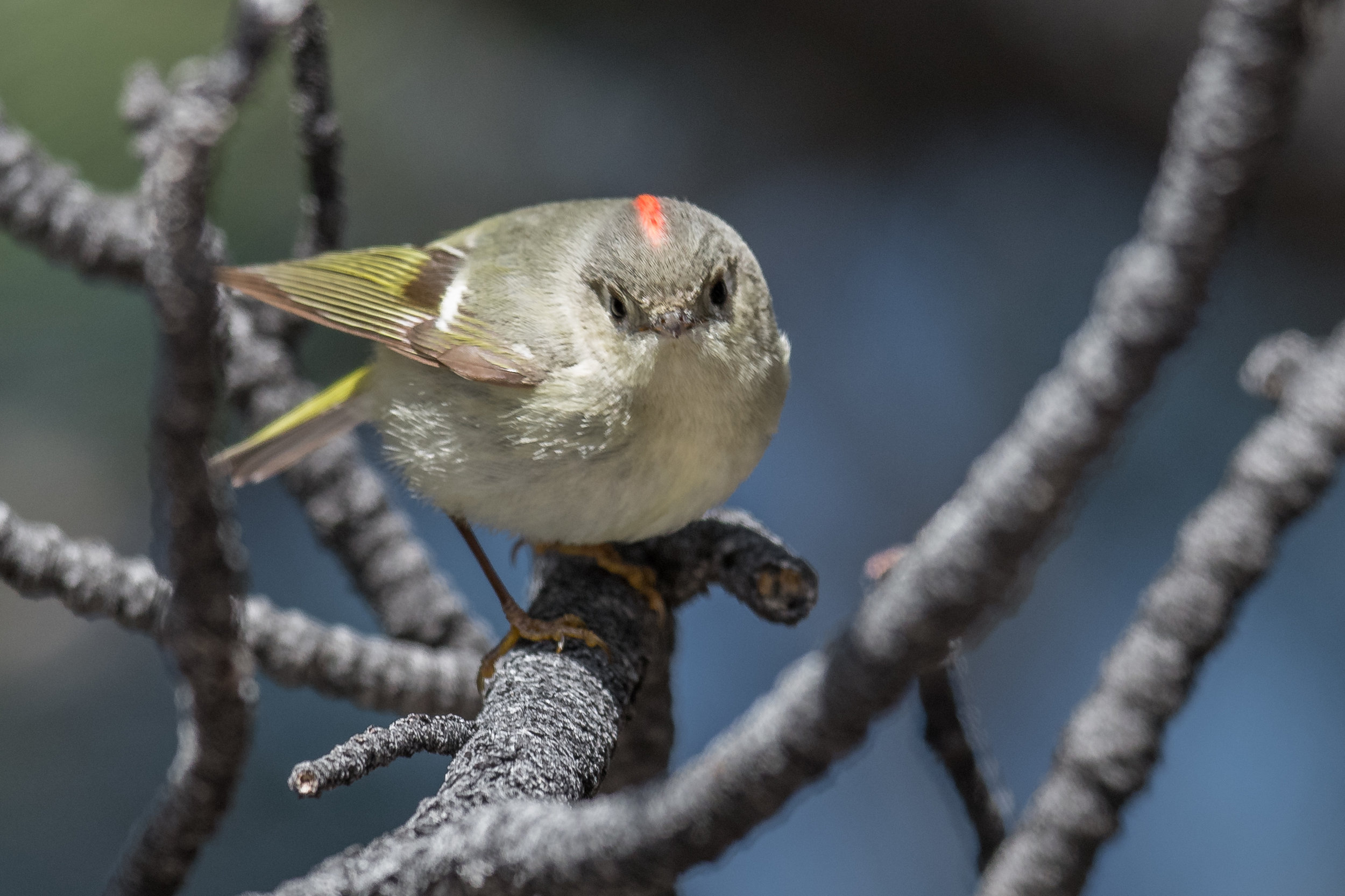 Featured Photo: Ruby-crowned Kinglet (Regulus calendula), WAS (NV)  EQ: D850, 500mm f/4 Taken: 3-29-2019 at 9:34  Settings: 500mm (35mm eqv), 1/1250s, f/4, ISO500, 1/3EV Conditions: sunny