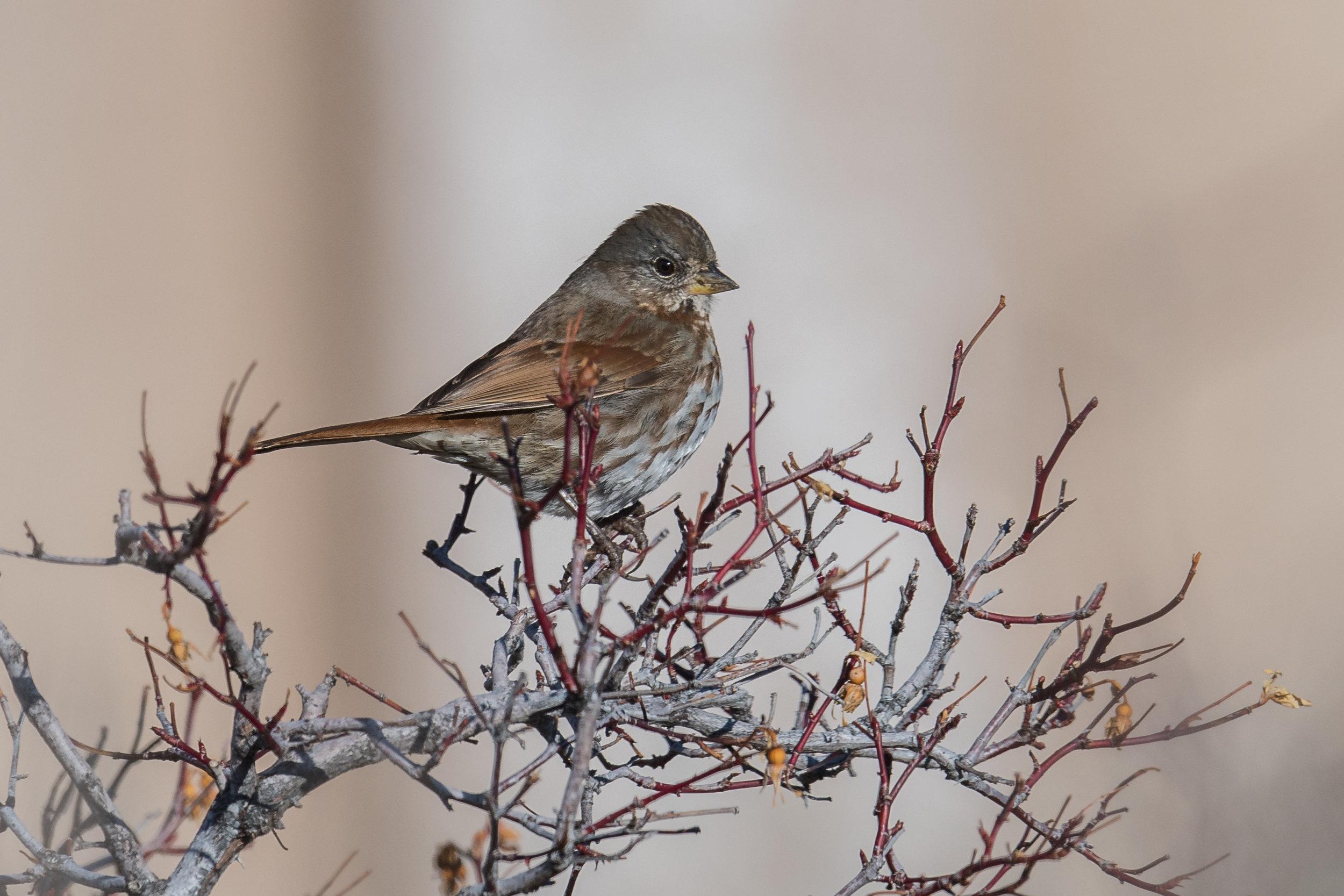 Fox Sparrow, Slate-colored (Passerella iliaca [schistacea Group])