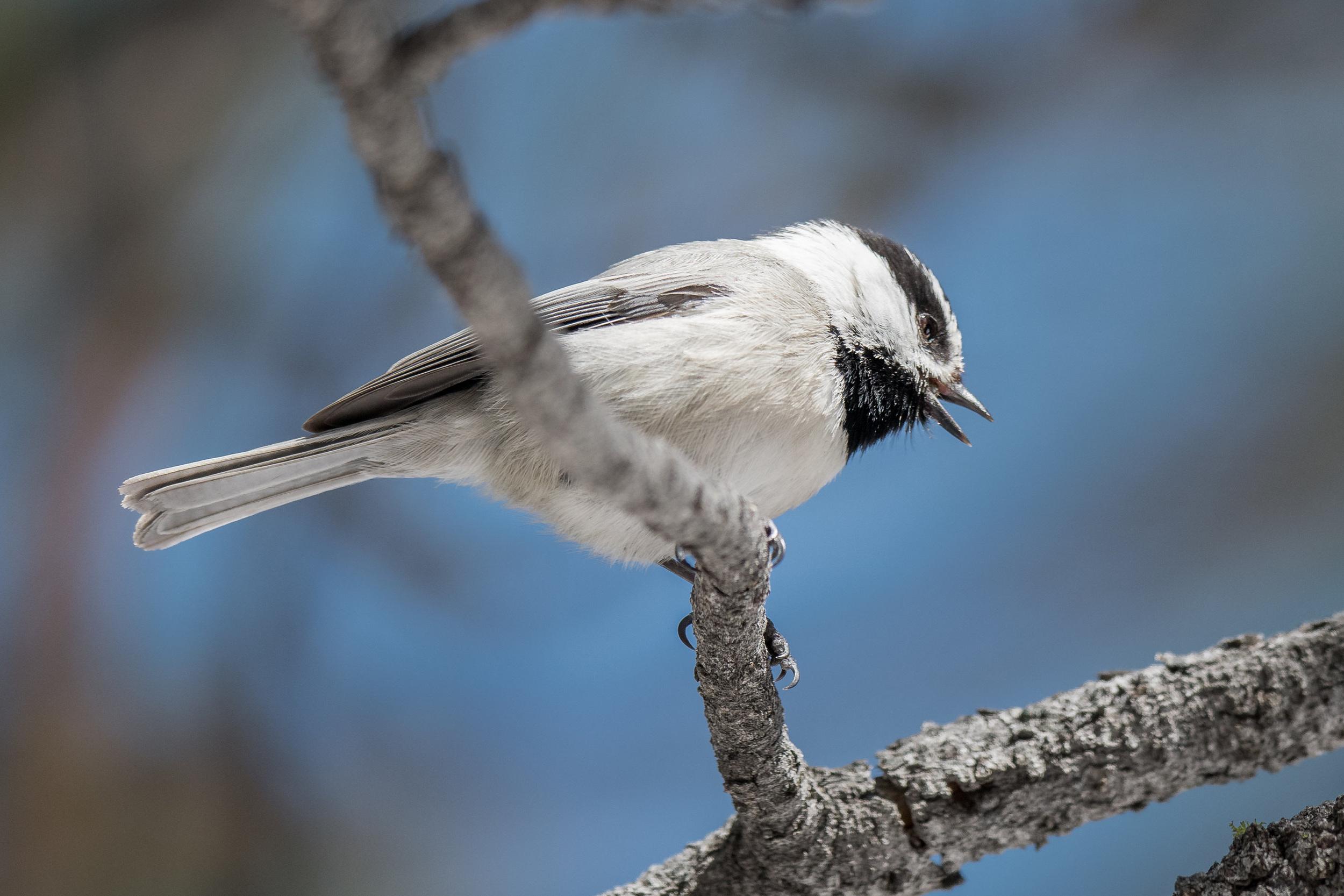 Mountain Chickadee, Sierra Nevada (Poecile gambeli [baileyae Group])