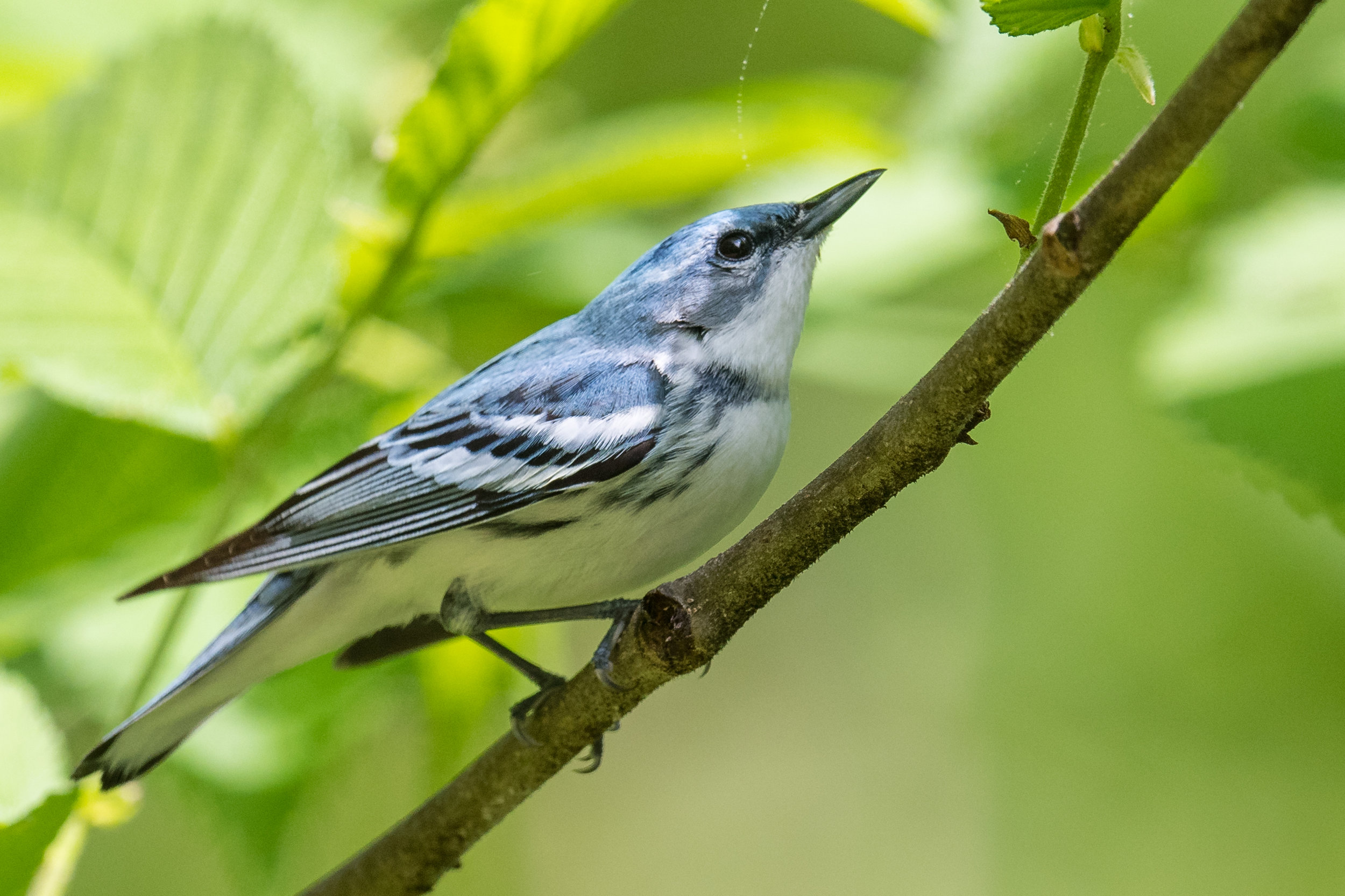 Featured Photo: Cerulean Warbler (Setophaga cerulea), SF Rd 2 to Pond Lick Rd, SCI (OH)  EQ: D850, 500mm f/4 Taken: 5-11-2019 at 11:15  Settings: 500mm (35mm eqv), 1/1000s, f/5, ISO400, 1/3EV Conditions: sunny under canopy