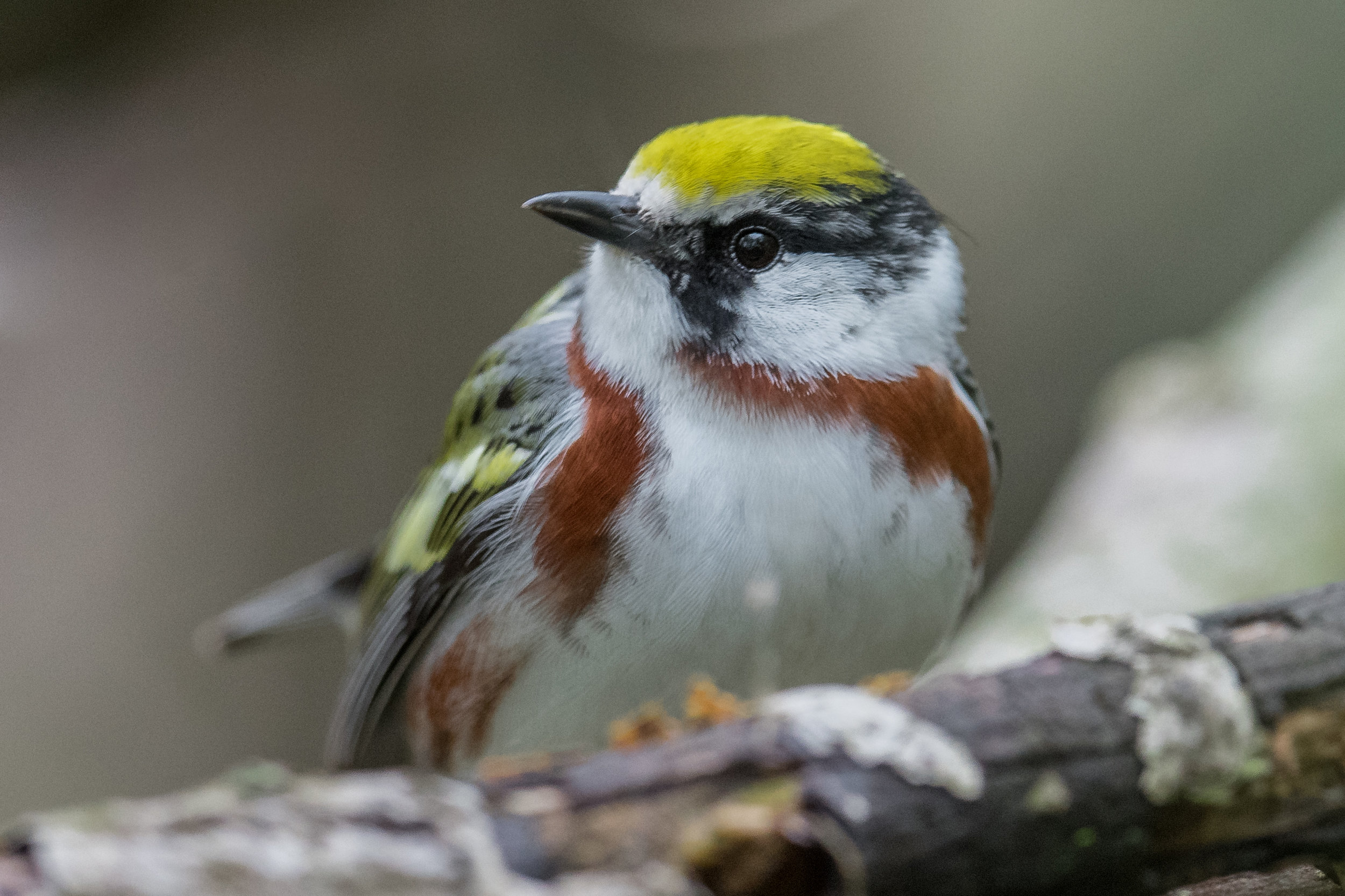 Featured Photo: Chestnut-sided Warbler (Setophaga pensylvanica), Magee Marsh, LUC (OH)  EQ: D850, 500mm f/4 Taken: 5-13-2019 at 14:35  Settings: 500mm (35mm eqv), 1/800s, f/4.5, ISO1100, 1/3EV Conditions: overcast