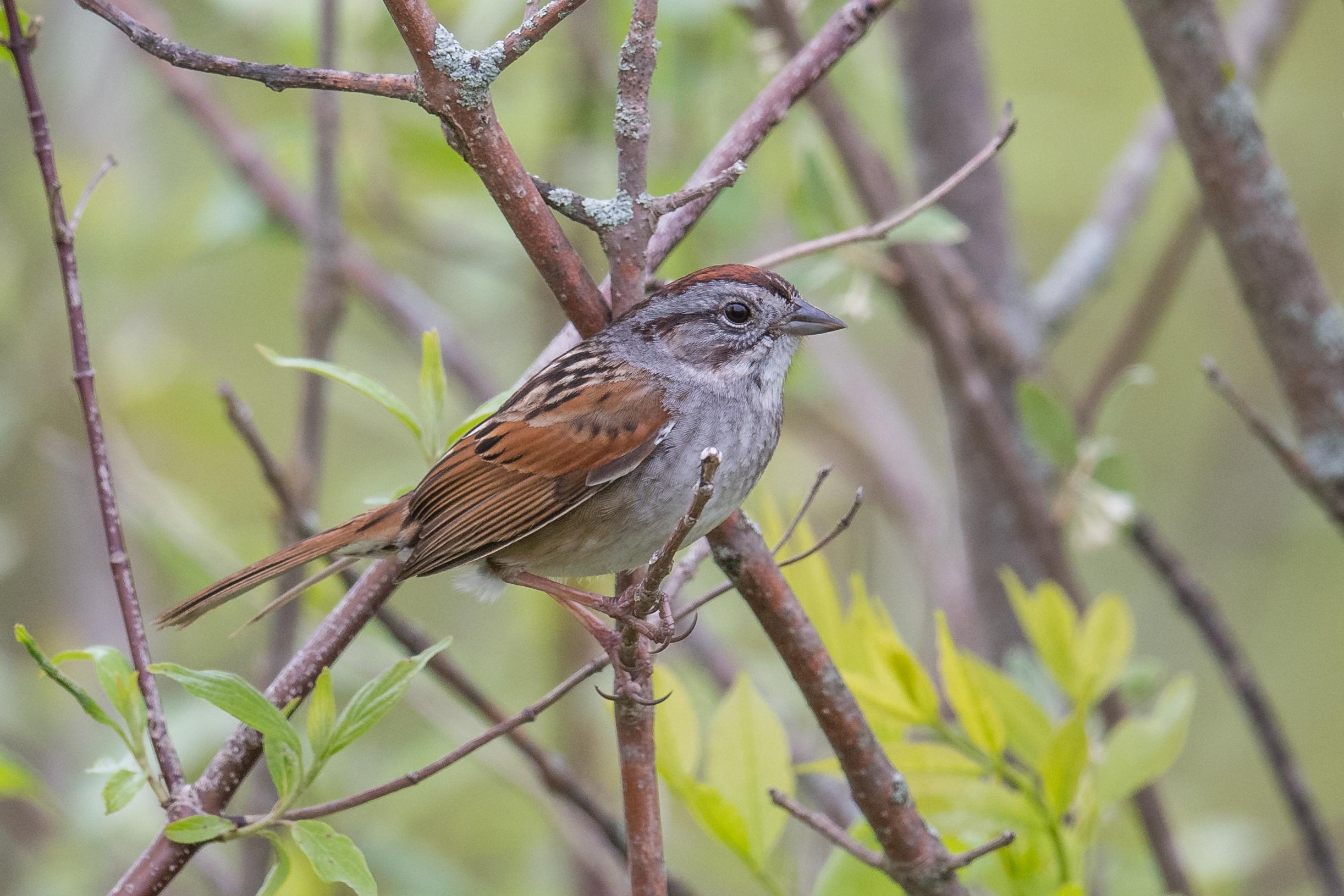 Swamp Sparrow (Melospiza georgiana): Delaware Wildlife Area, DEL (OH)