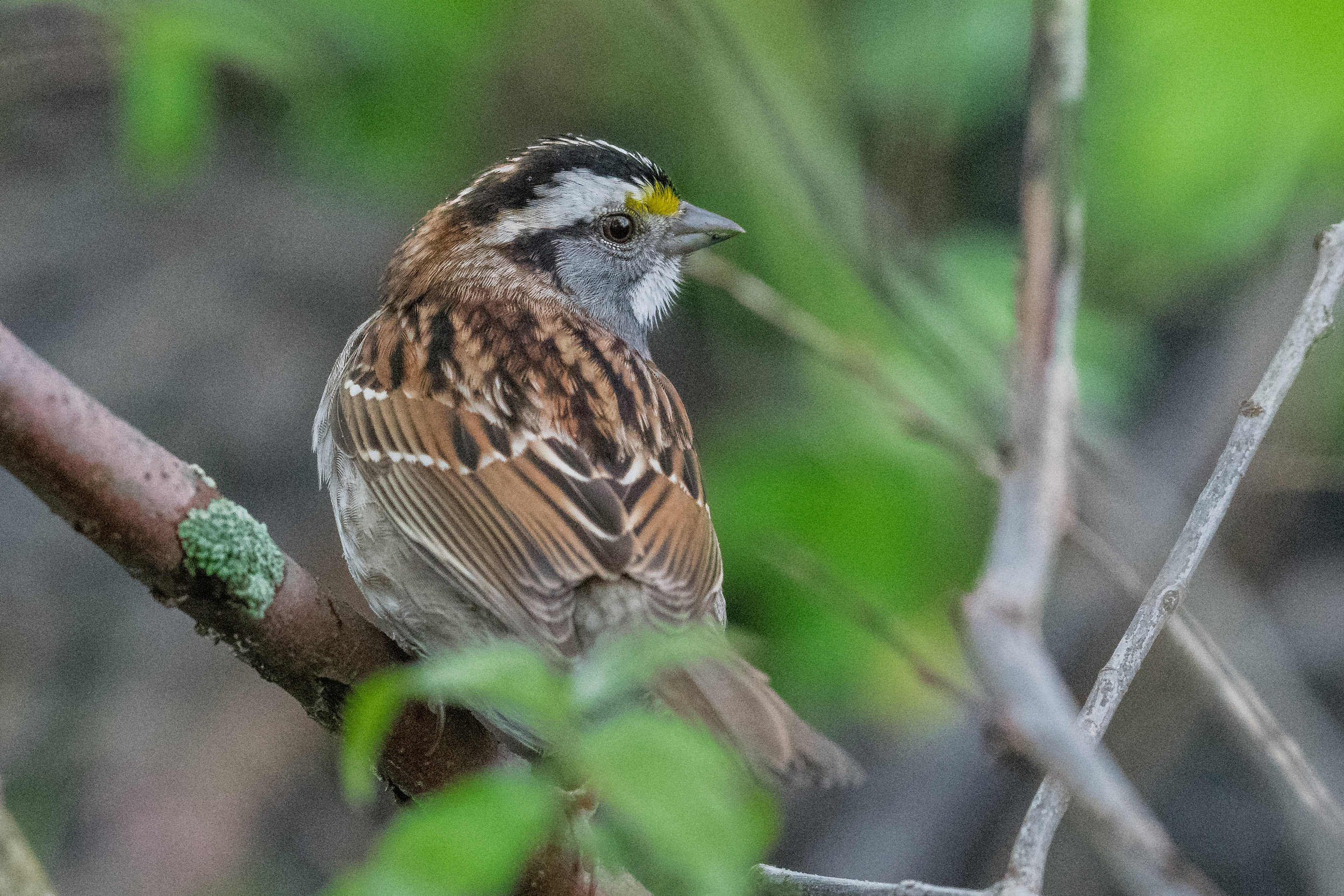 White-throated Sparrow (Zonotrichia albicollis): Magee Marsh, LUC (OH)