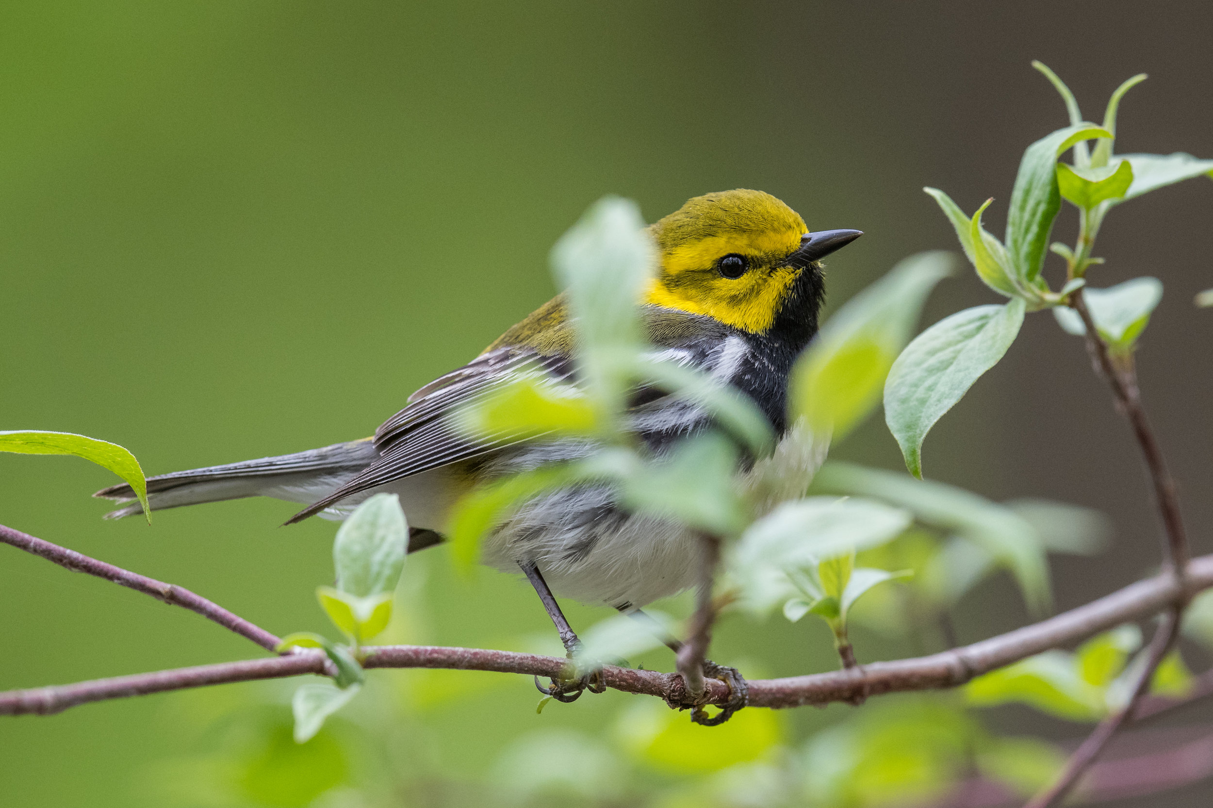 Black-throated Green Warbler (Setophaga virens): Magee Marsh, LUC (OH)