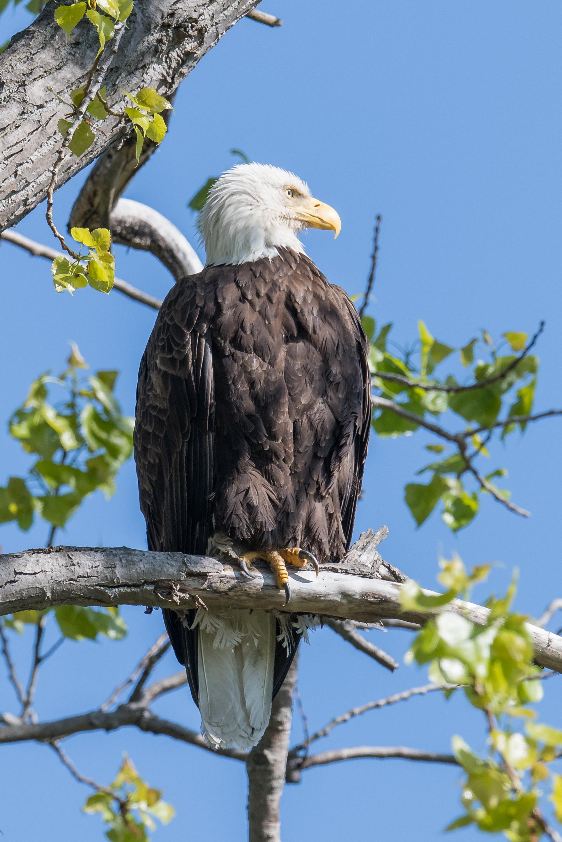 Bald Eagle (Haliaeetus leucocephalus): Magee Marsh, LUC (OH)