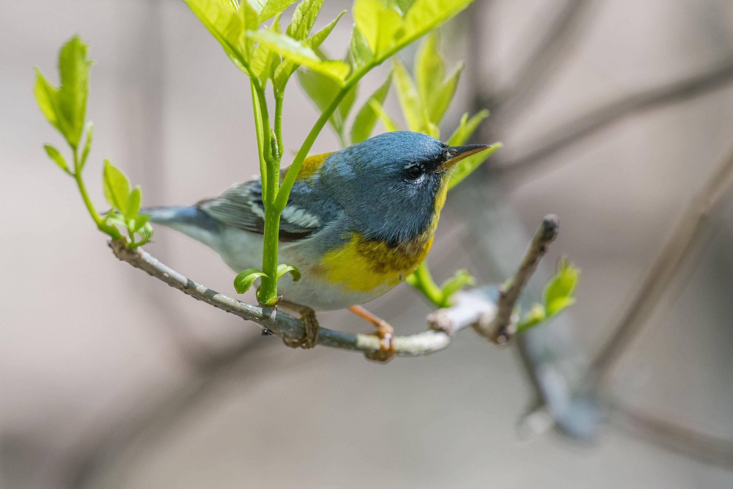 Northern Parula (Setophaga americana): Magee Marsh, LUC (OH)