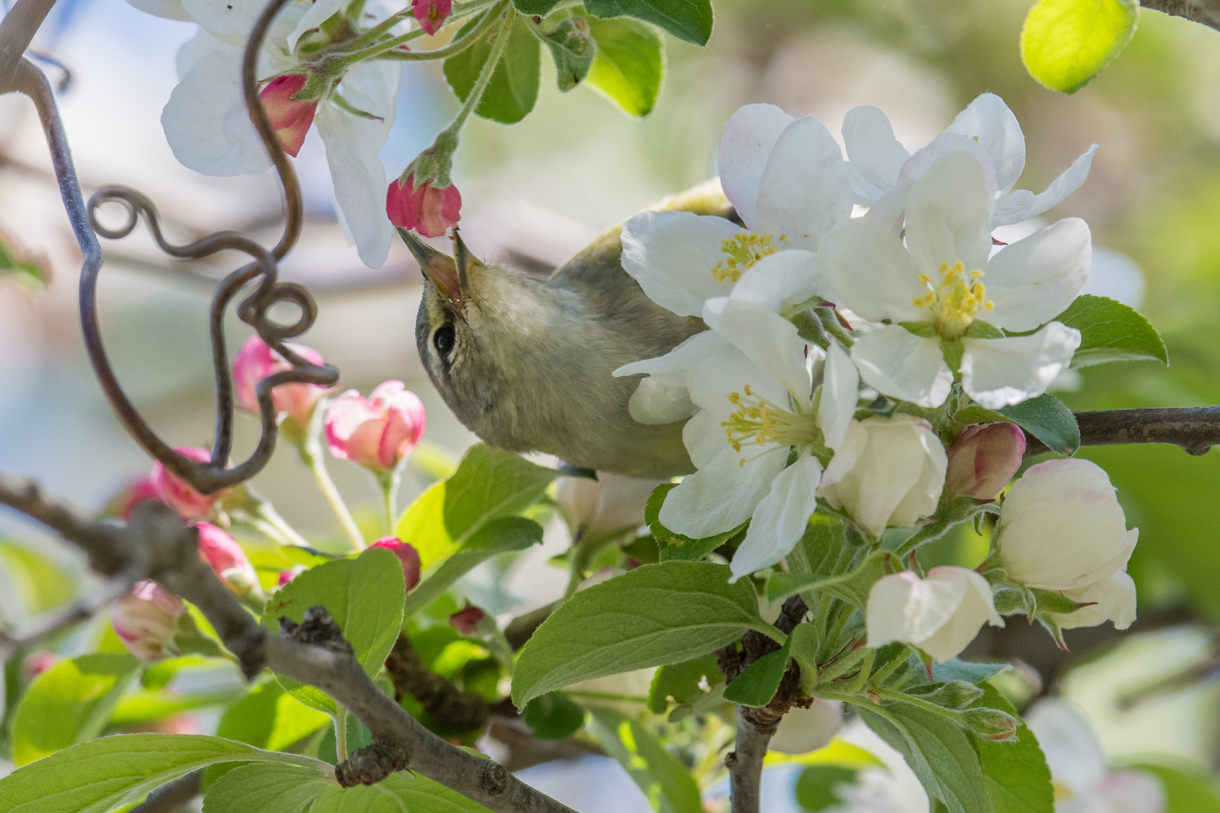 Tennessee Warbler (Oreothlypis peregrina): Magee Marsh, LUC (OH)