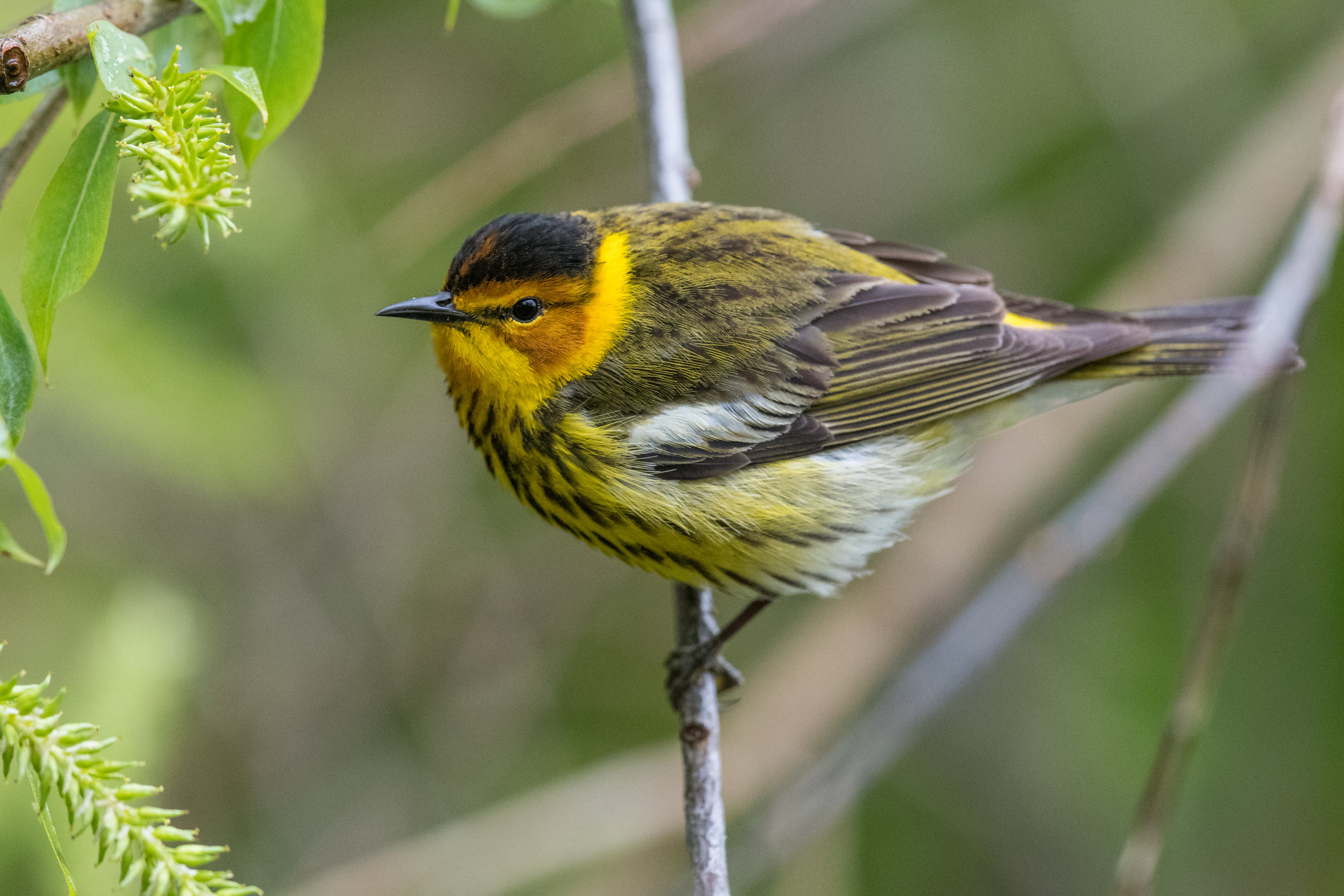 Cape May Warbler (Setophaga tigrina): Magee Marsh, LUC (OH)