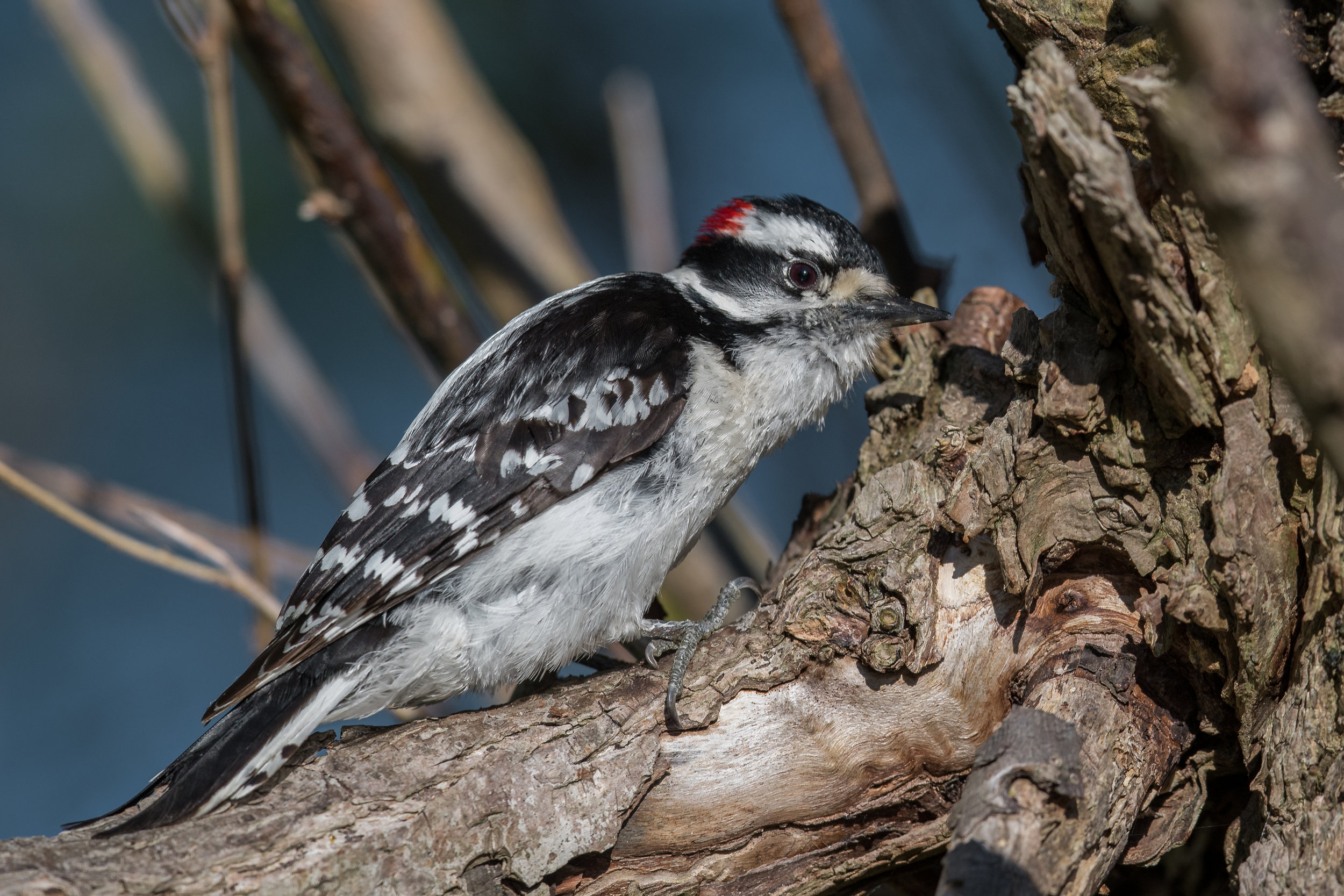 Downy Woodpecker (Dryobates pubescens): Metzger Marsh, LUC (OH)