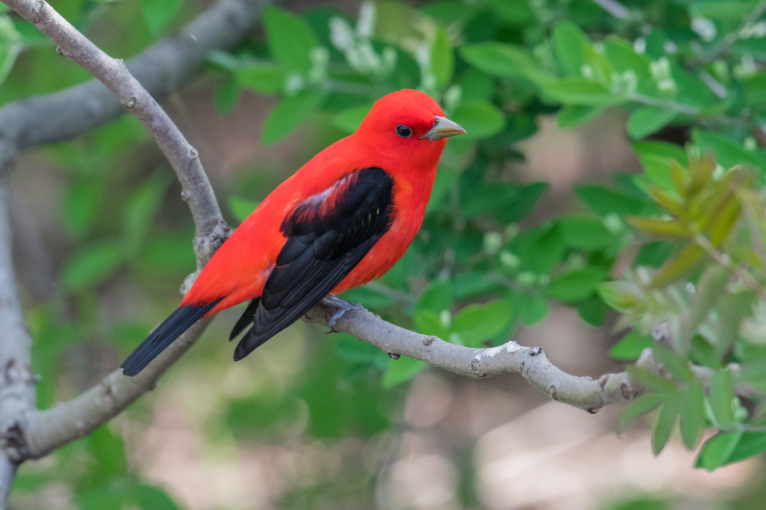 Scarlet Tanager (Piranga olivacea): Magee Marsh, LUC (OH)