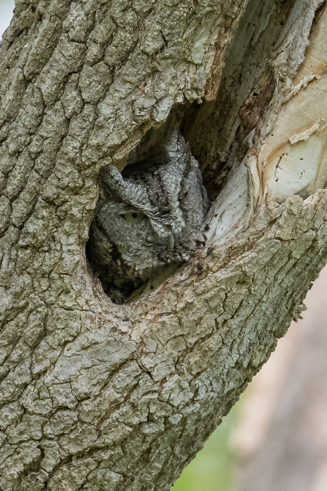 Eastern Screech-Owl (Megascops asio): Magee Marsh, LUC (OH)