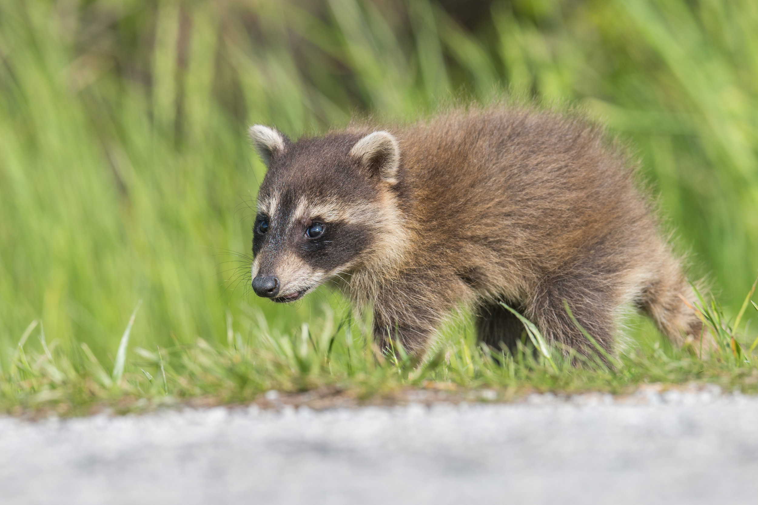 Raccoon (Procyon lotor): Magee Marsh, LUC (OH)