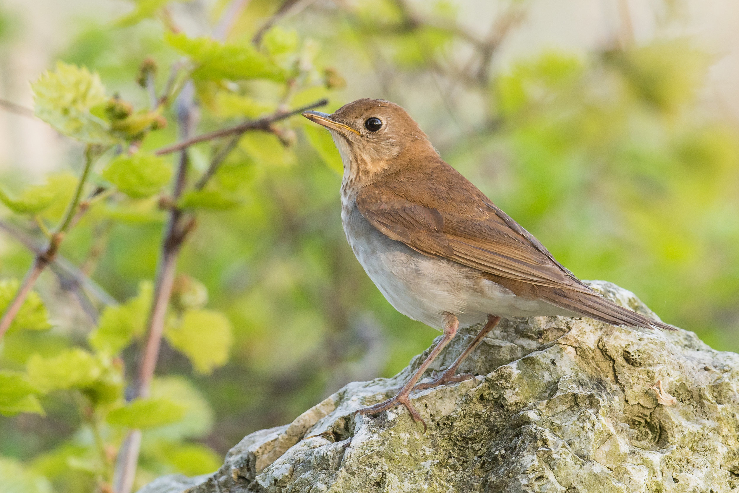 Veery (Catharus fuscescens): Magee Marsh, LUC (OH)