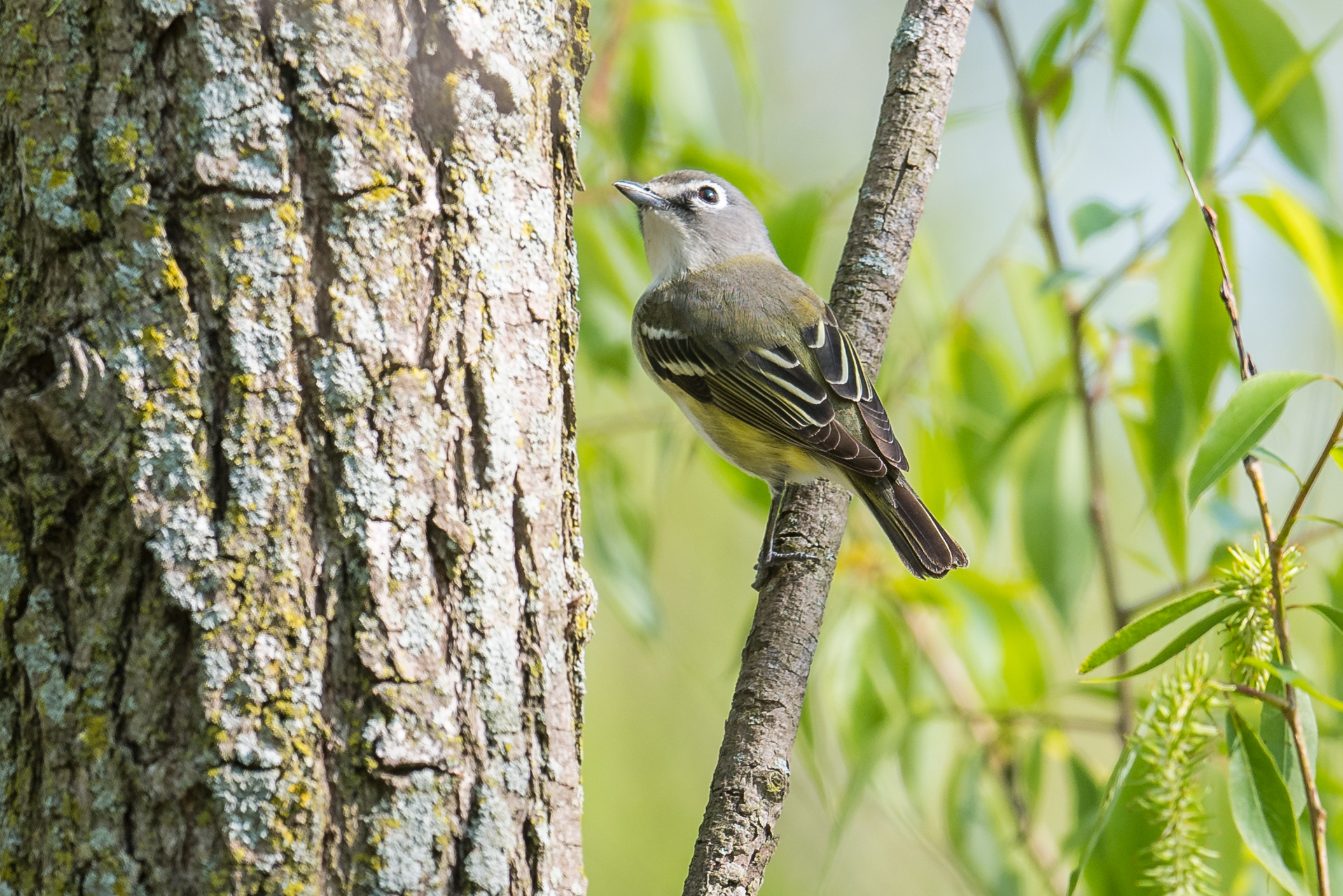 Blue-headed Vireo (Vireo solitarius): Magee Marsh, LUC (OH)