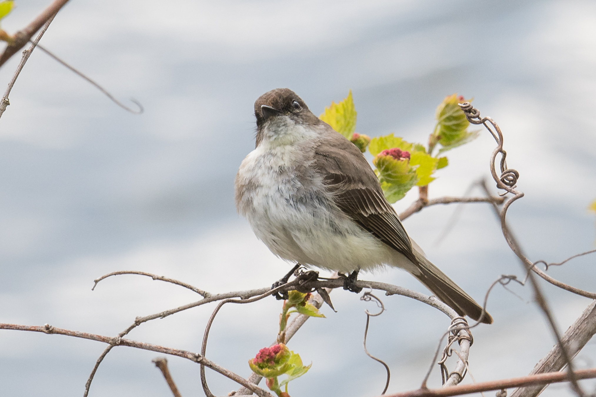 Eastern Phoebe (Sayornis phoebe): Shiawassee NWR, SAG (MI)
