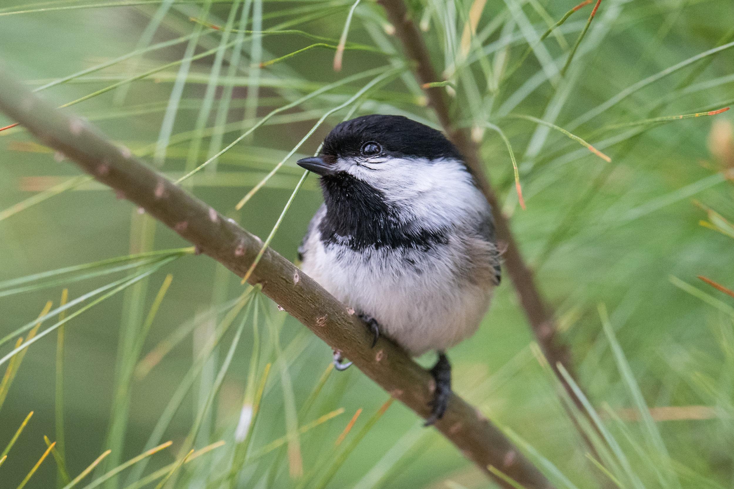 Black-capped Chickadee (Poecile atricapillus): Wood Road, ISO (MI)