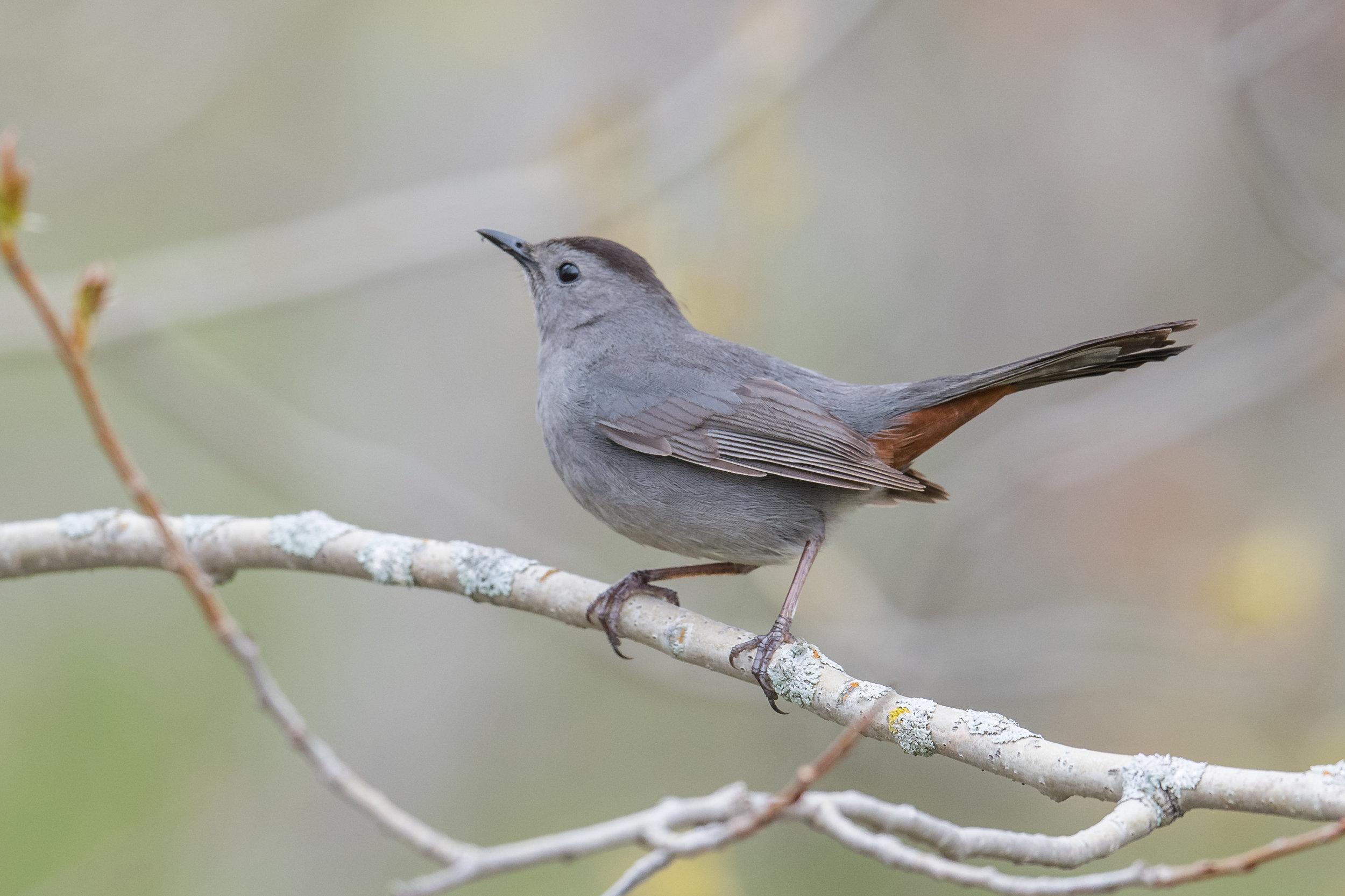 Gray Catbird (Dumetella carolinensis): Tawas Point SP, ISO (MI)