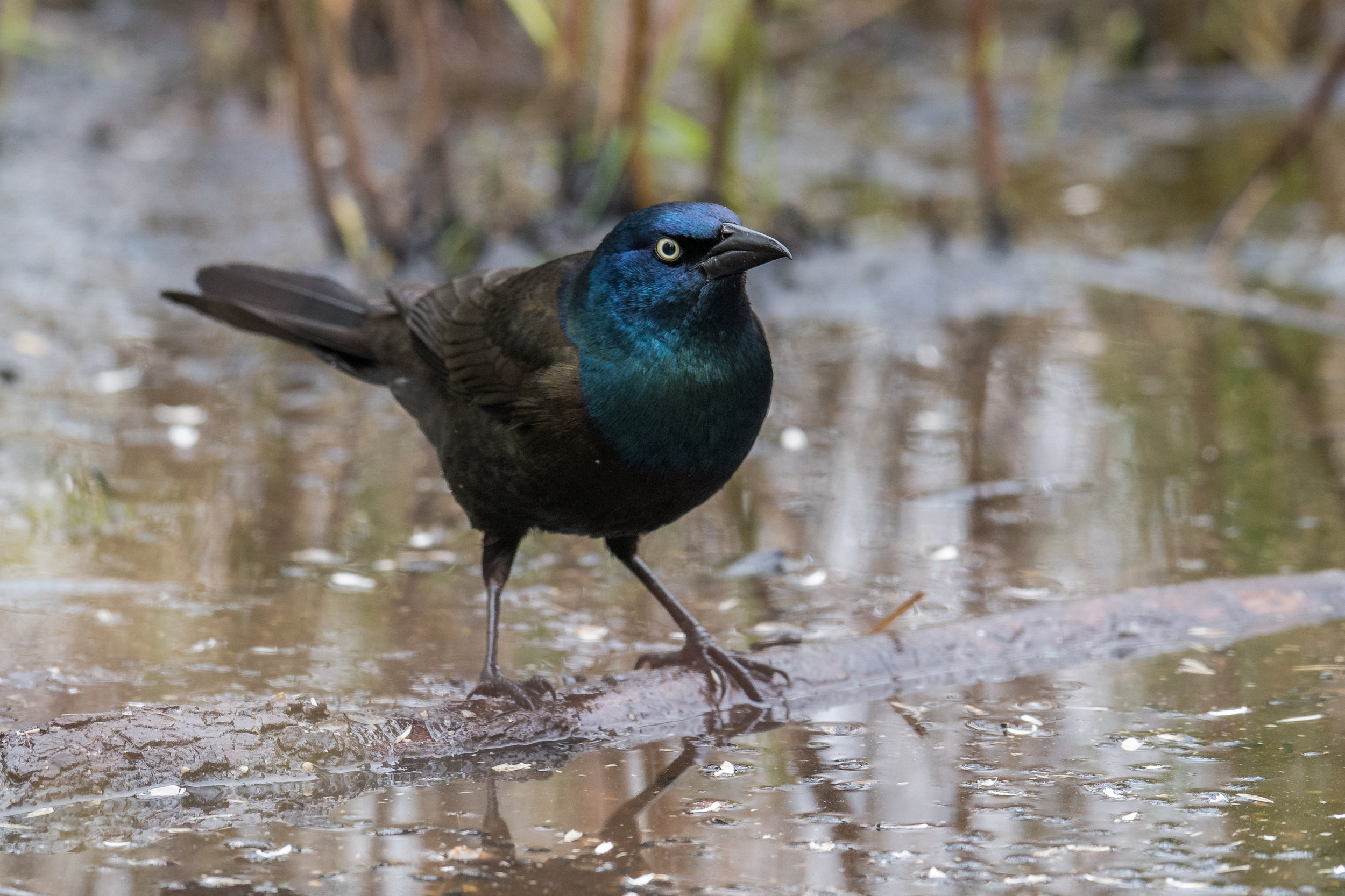 Common Grackle (Quiscalus quiscula): Tawas Point SP, ISO (MI)