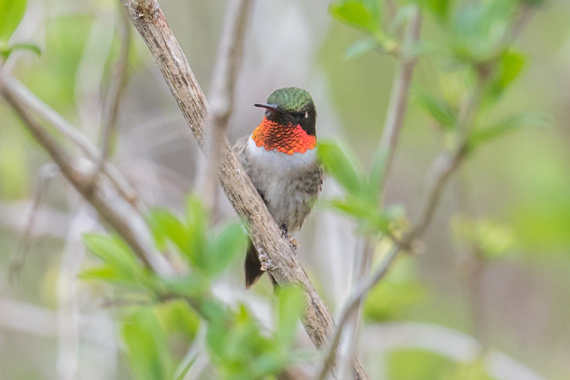 Ruby-throated Hummingbird (Archilochus colubris): Tawas Point SP, ISO (MI)