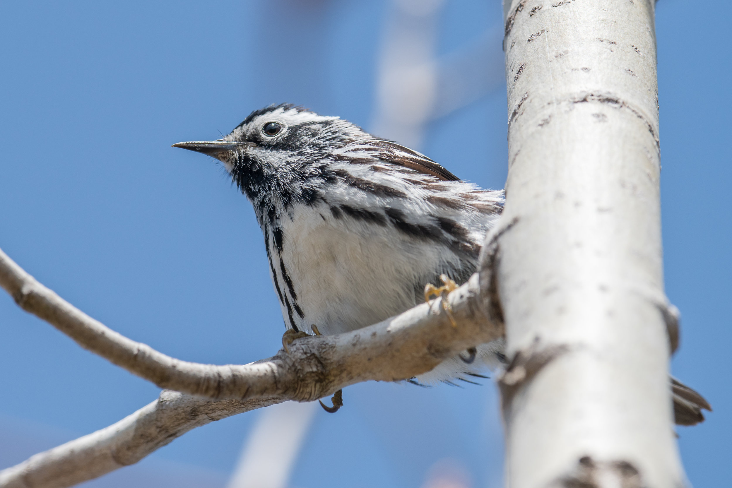 Black-and-white Warbler (Mniotilta varia): Tawas Point SP, ISO (MI)