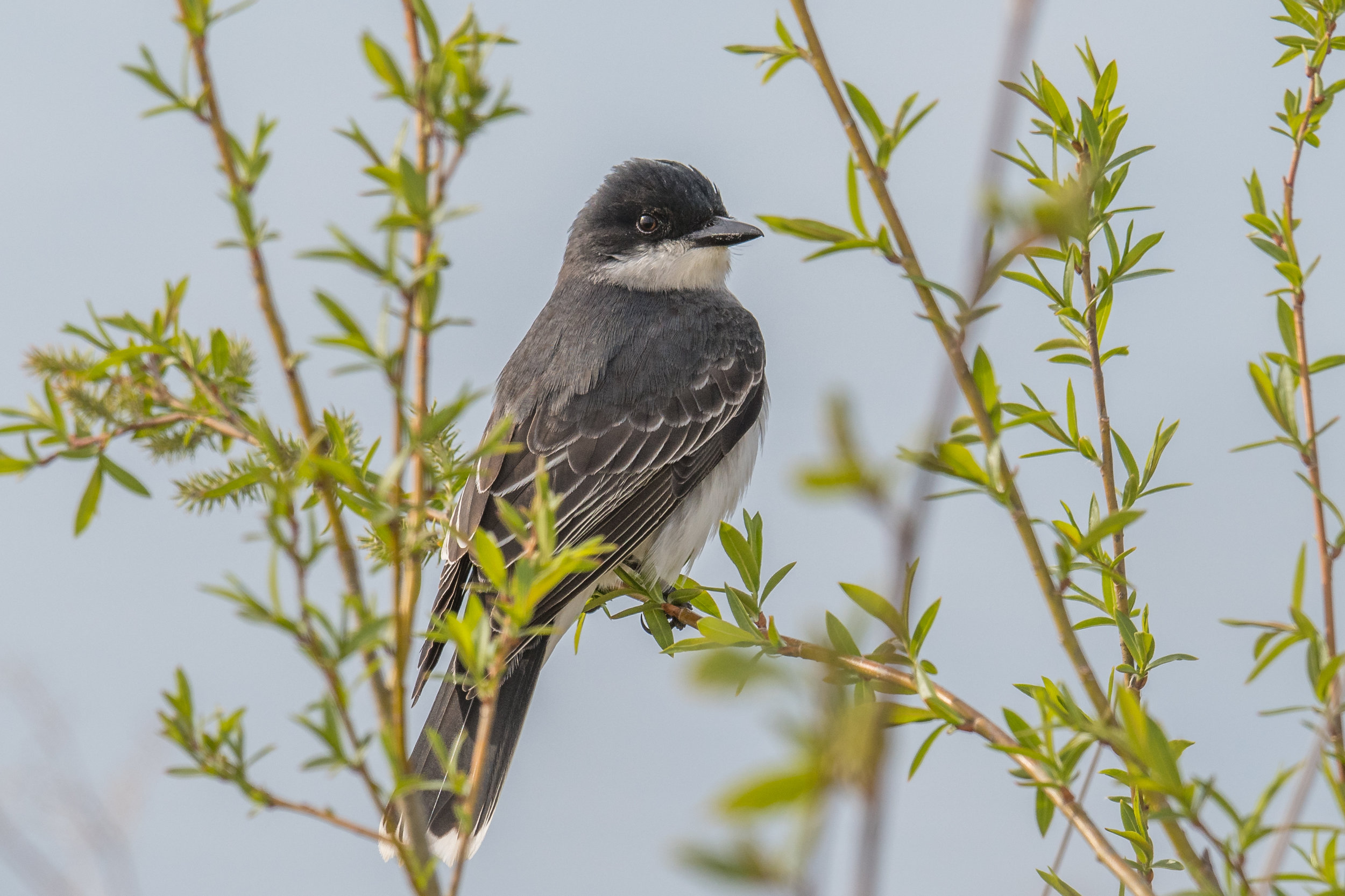 Eastern Kingbird (Tyrannus tyrannus): Tawas Point SP, ISO (MI)