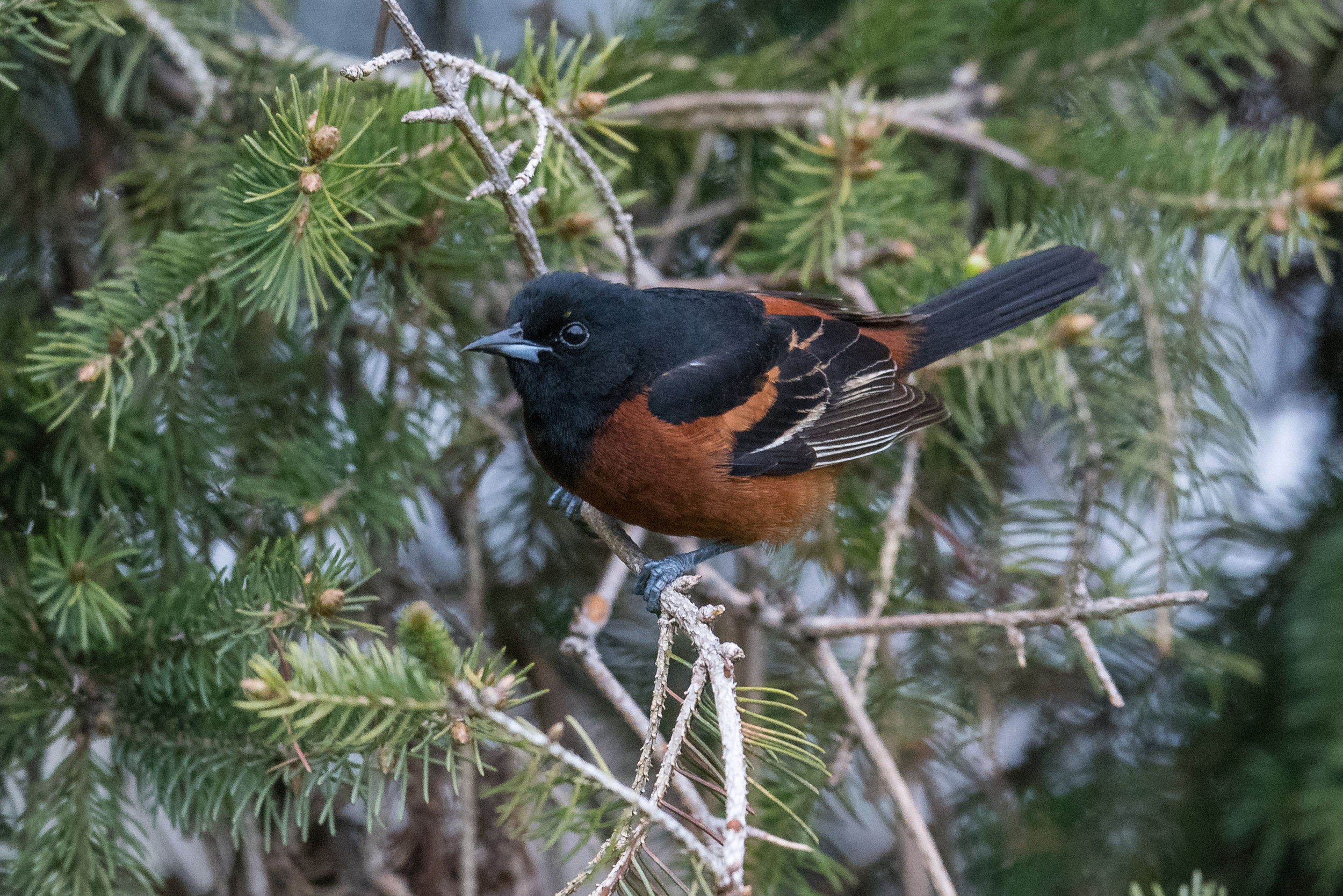 Orchard Oriole (Icterus spurius): Tawas Point SP, ISO (MI)