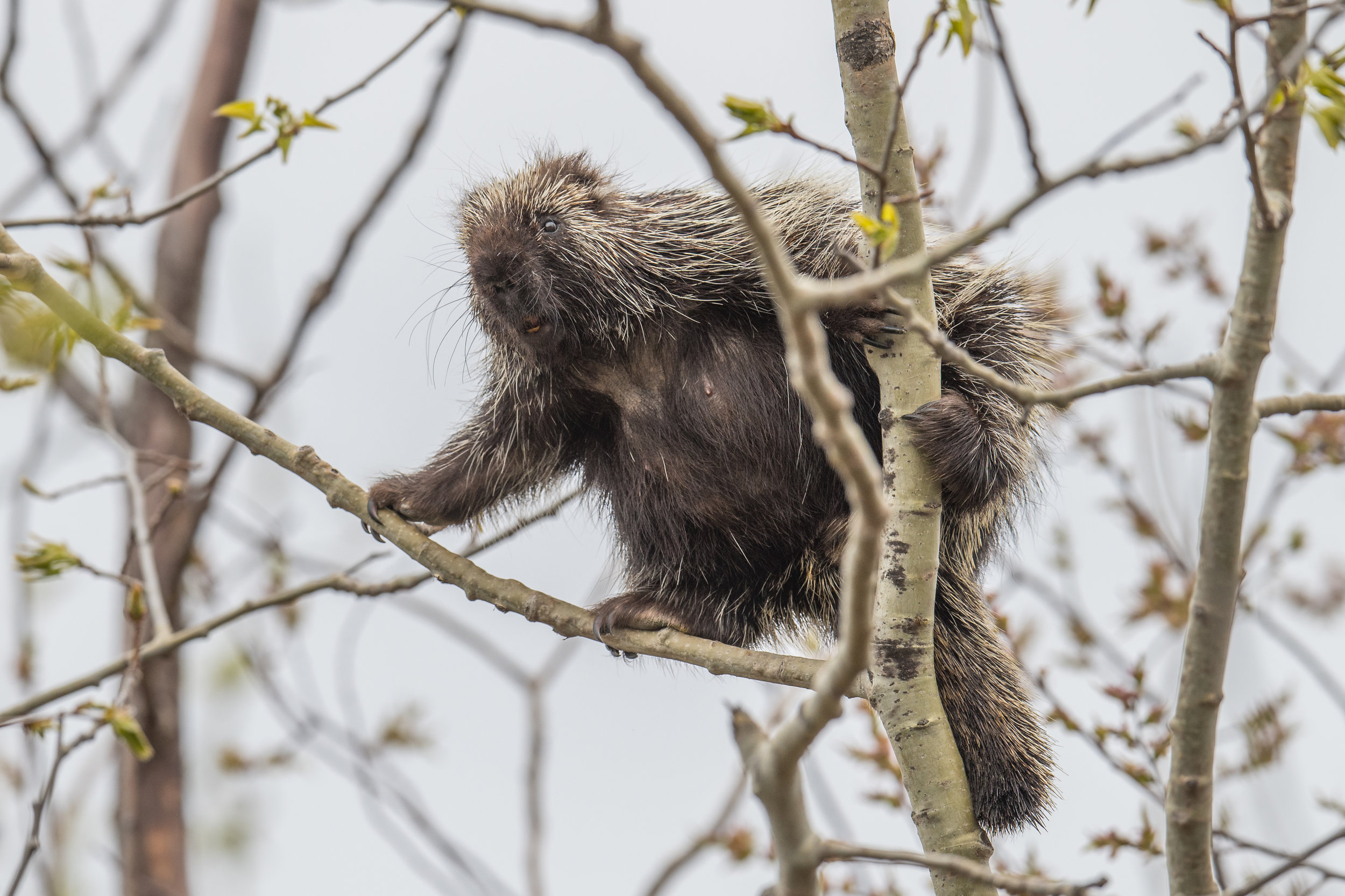 North American porcupine (Erethizon dorsatum): Tawas Point SP, ISO (MI)