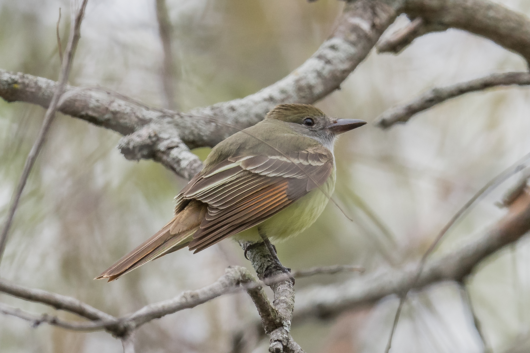 Great Crested Flycatcher (Myiarchus crinitus): Au Stable SF - Big Creek Rd, ARE (MI)