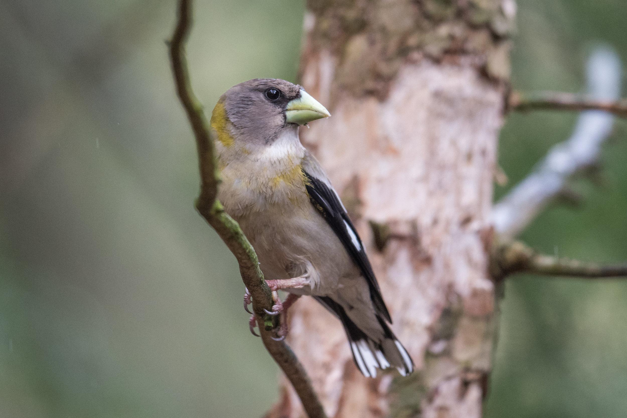 Evening Grosbeak (Coccothraustes vespertinus): Hartwick Pines SP, CRA (MI)