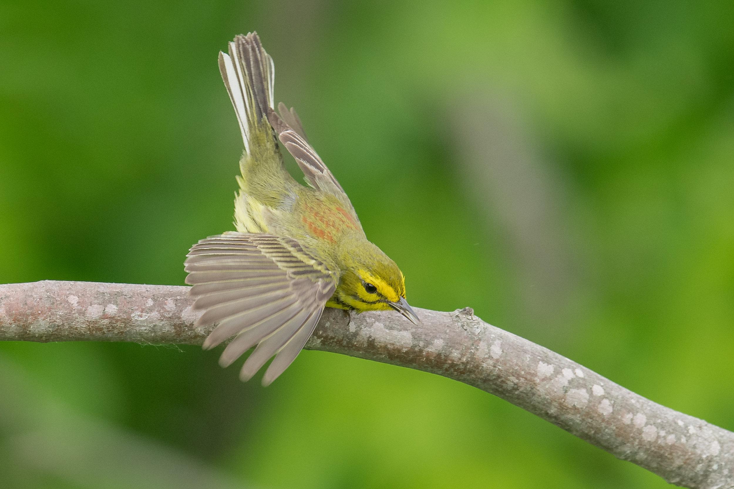 Prairie Warbler (Setophaga discolor): Red River Gorge - Rock Bridge Road, WOL (KY)