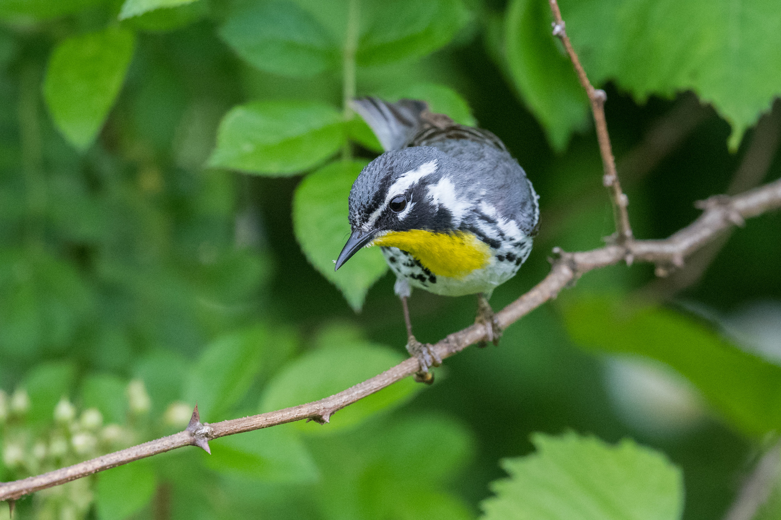 Yellow-throated Warbler (Setophaga dominica): Shawnee SP, SCI (OH)