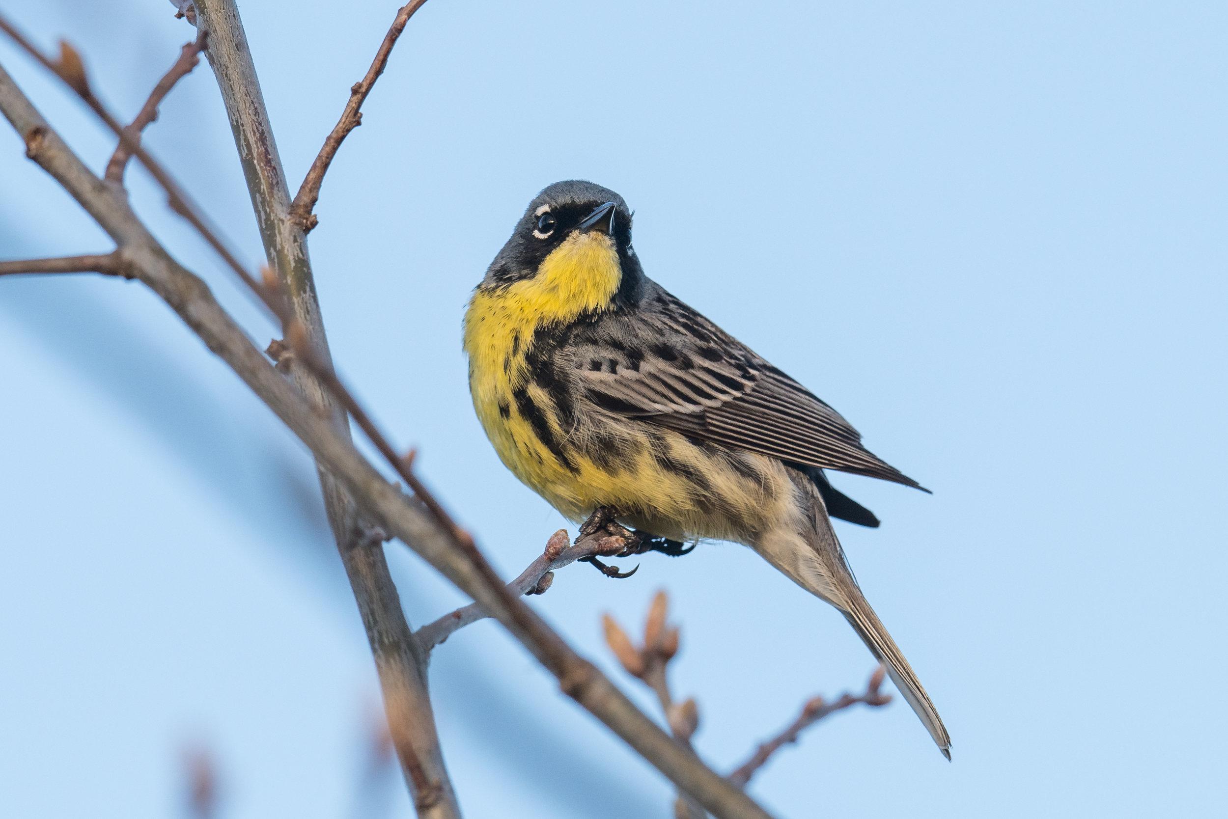 Kirtland's Warbler (Setophaga kirtlandii), Curtis Road, IOS (MI)