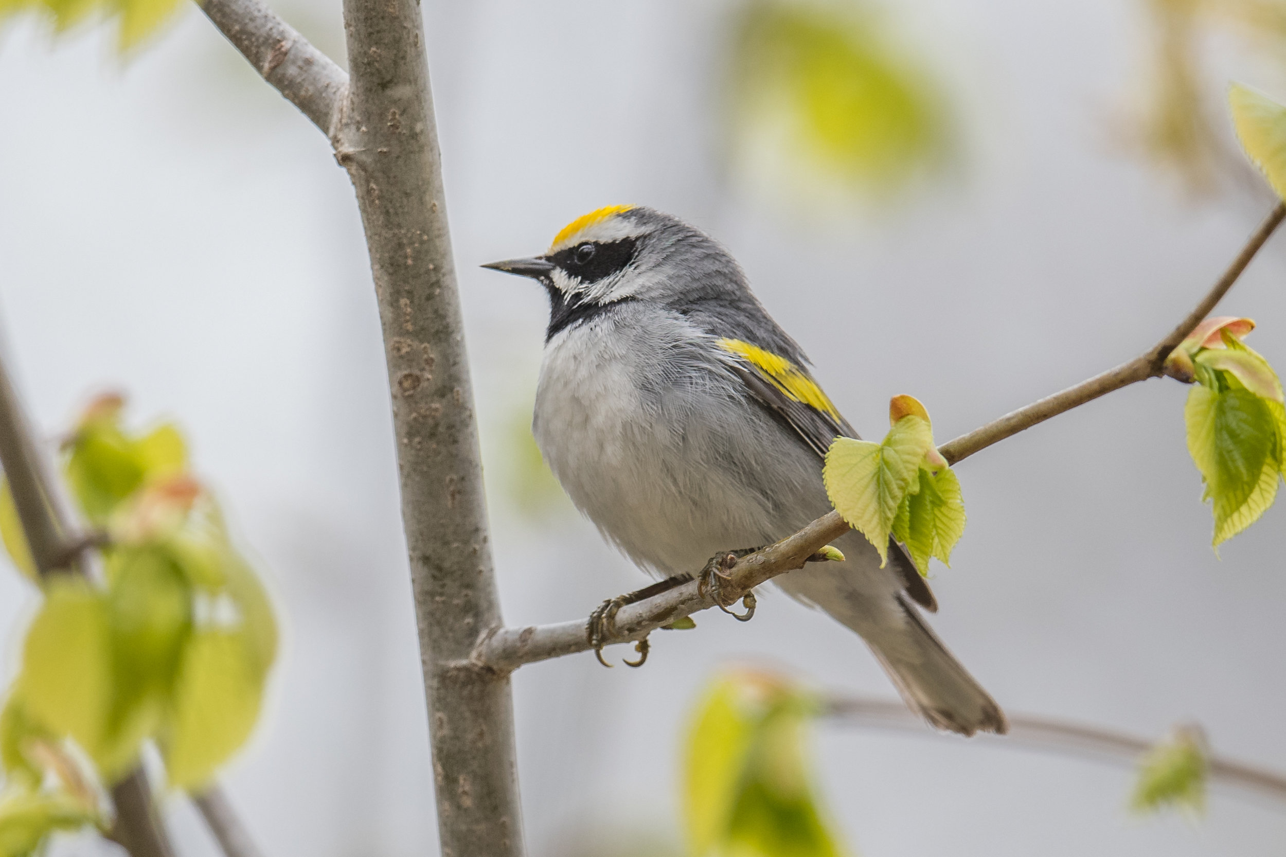 Golden-winged Warbler (Vermivora chrysoptera), Au Stable SF - Big Creek Rd, ARE (MI)