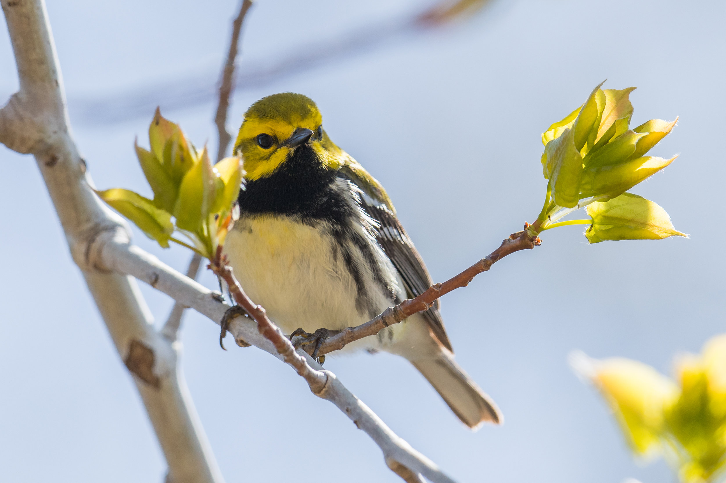 Black-throated Green Warbler (Setophaga virens), Tawas Point SP, ISO (MI)