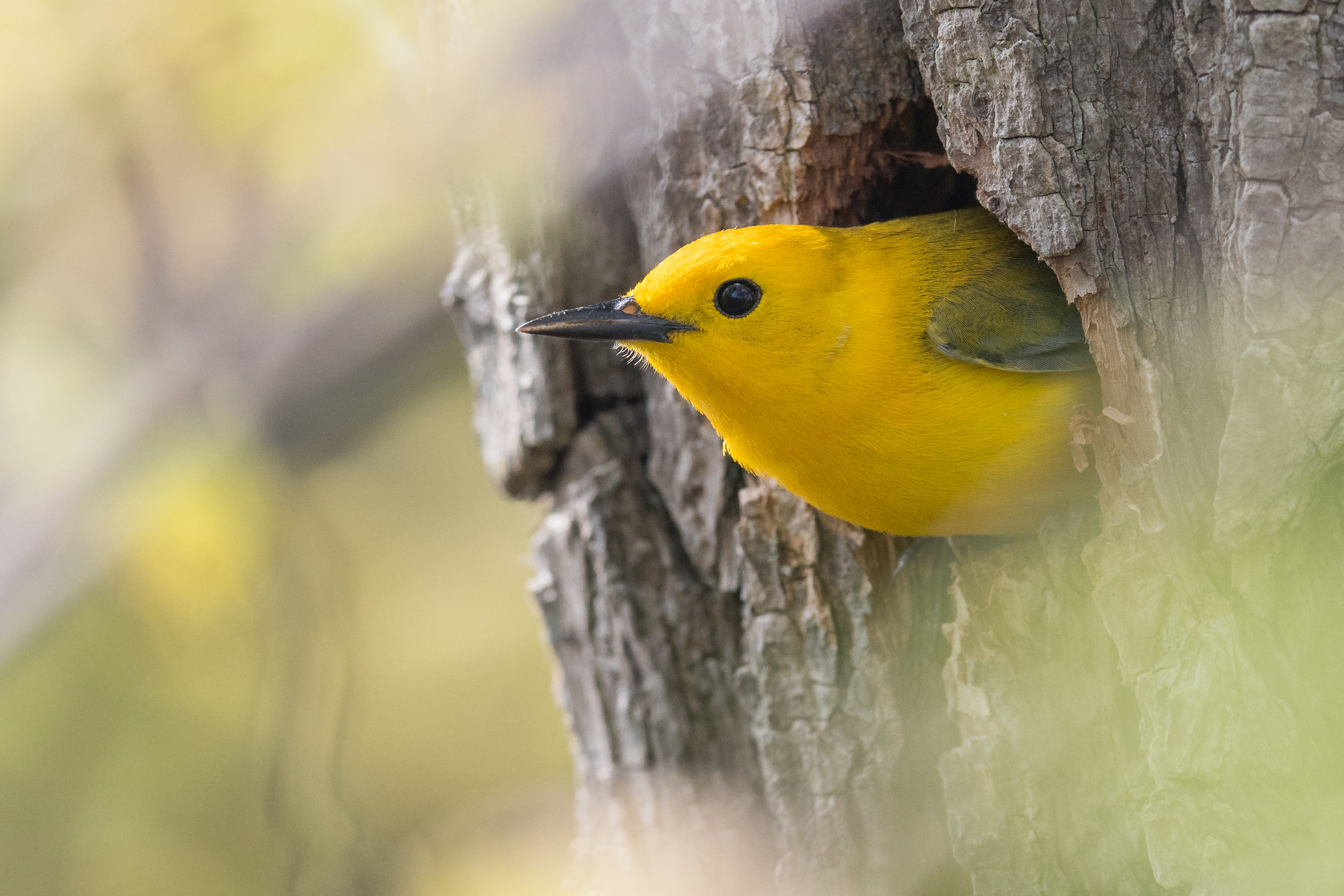 Prothonotary Warbler (Protonotaria citrea), Magee Marsh - Causeway, LUC (OH)