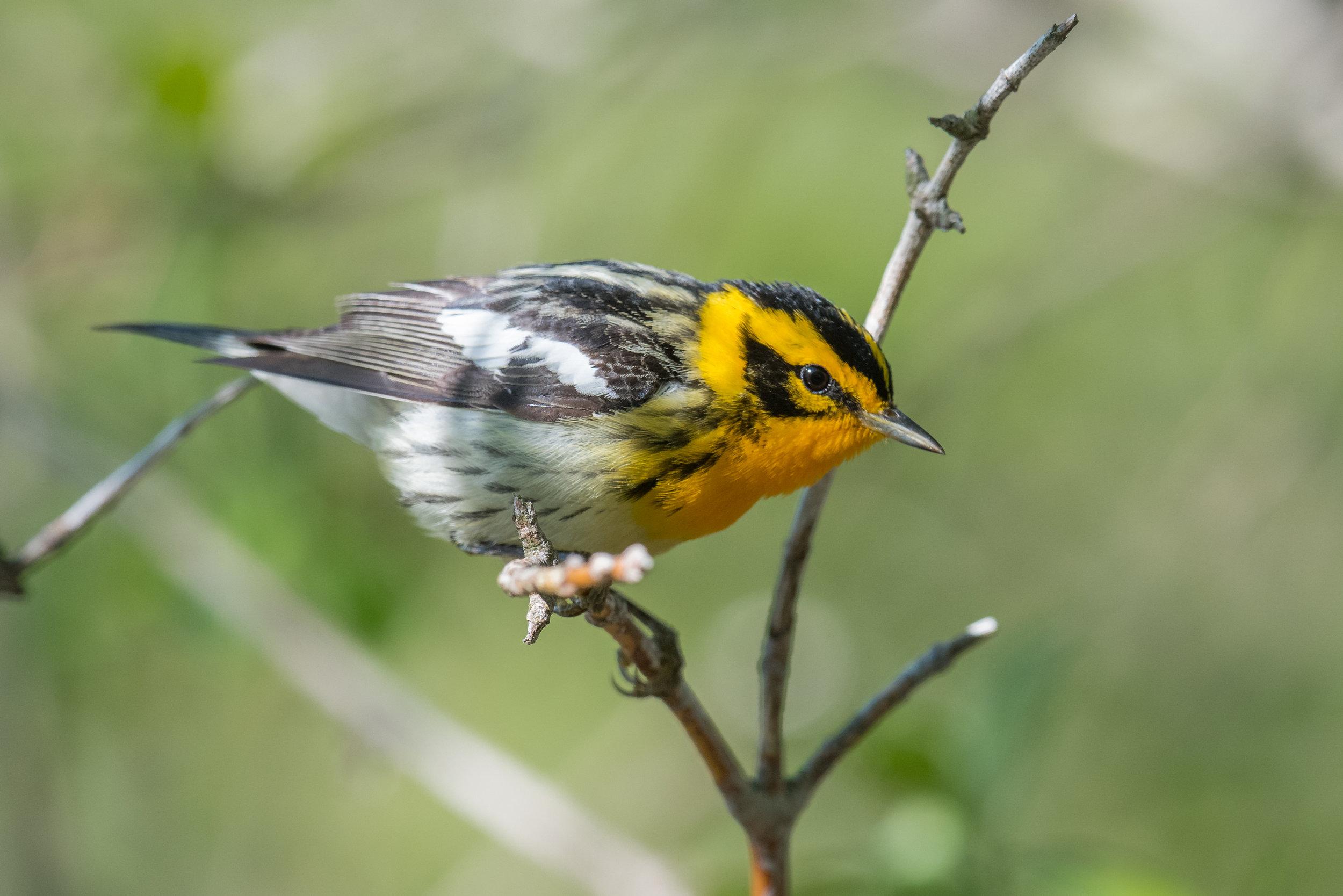 Blackburnian Warbler (Setophaga fusca), Magee Marsh - Boardwalk, LUC (OH)