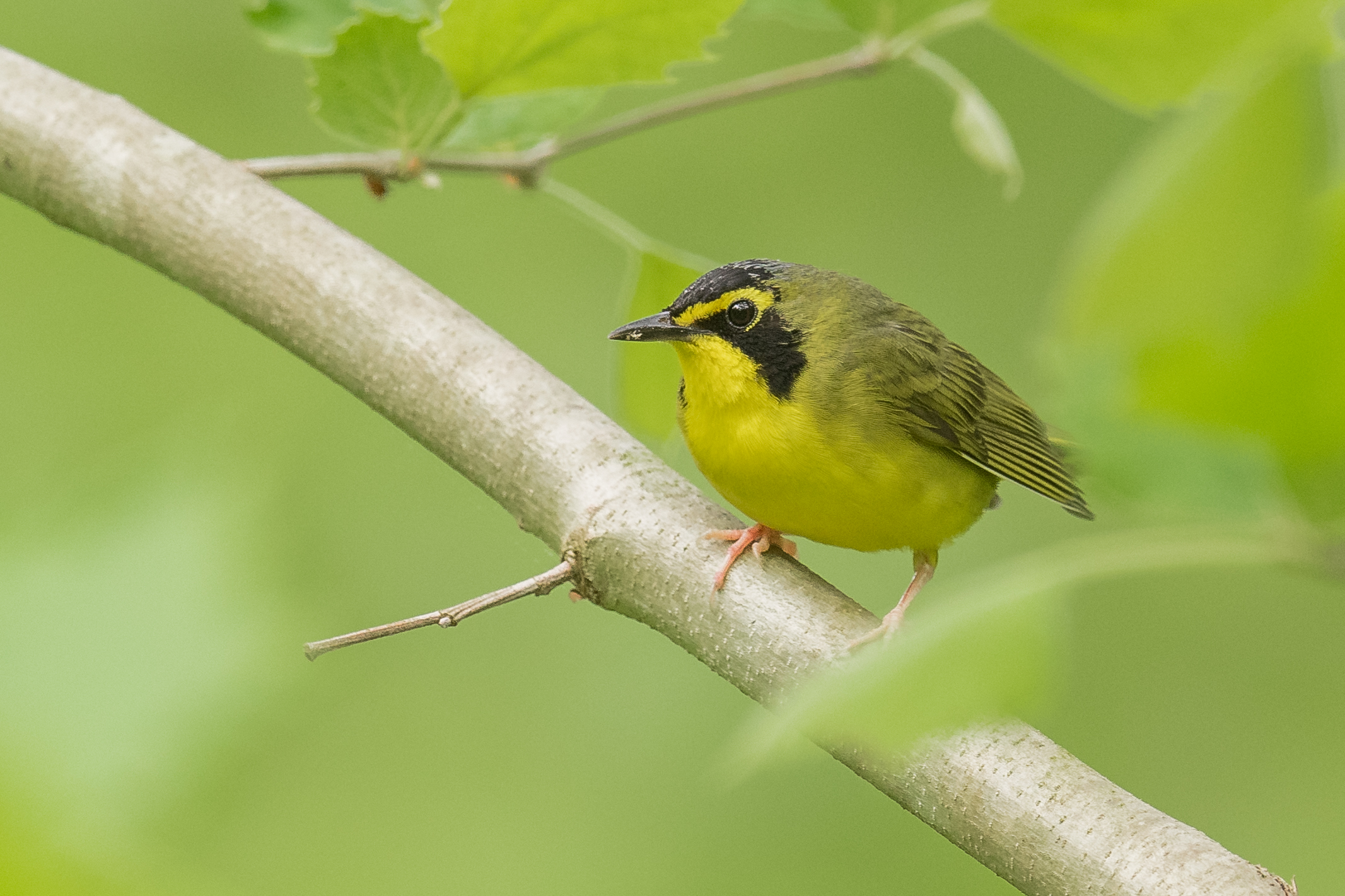 Kentucky Warbler (Geothlypis formosa), SF Rd 2 to Pond Lick Rd, SCI (OH)
